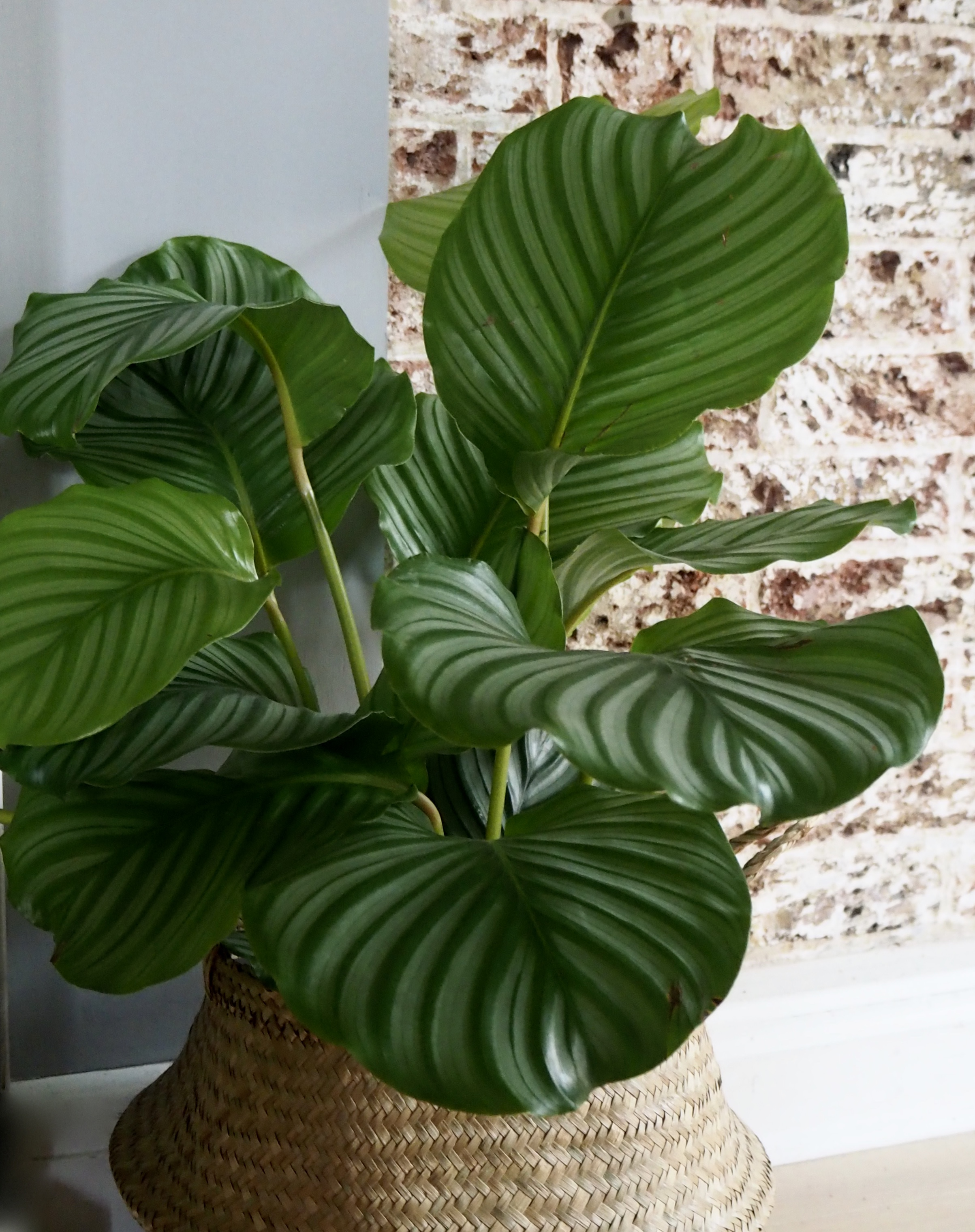 I love the pattern and colours of the leaves of this 'Round Leaf Calathea'plant in my home, it's one of my favourites.......