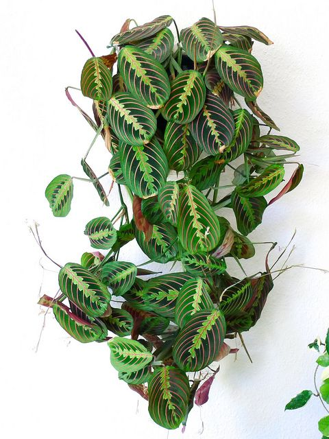 This beauty...... Maranta Red Prayer Plant..... is on my 2018 wish list for the kitchen.