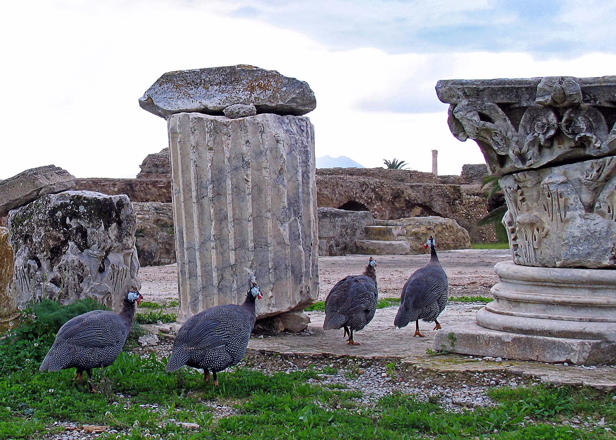 Guinea Fowl - Carthage, Tunis, Tunisa