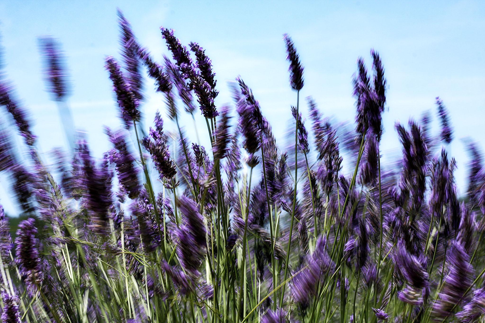 Lavender - Provence, France