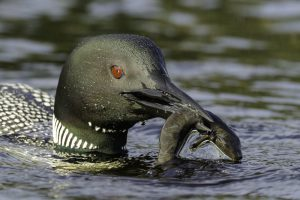 common-loon-with-mud-puppy-e1474501423174.jpg
