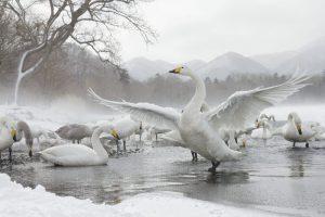 japan_swan-e1474501403527.jpg