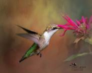 26a9299_larson_hovering-hummingbird.jpg