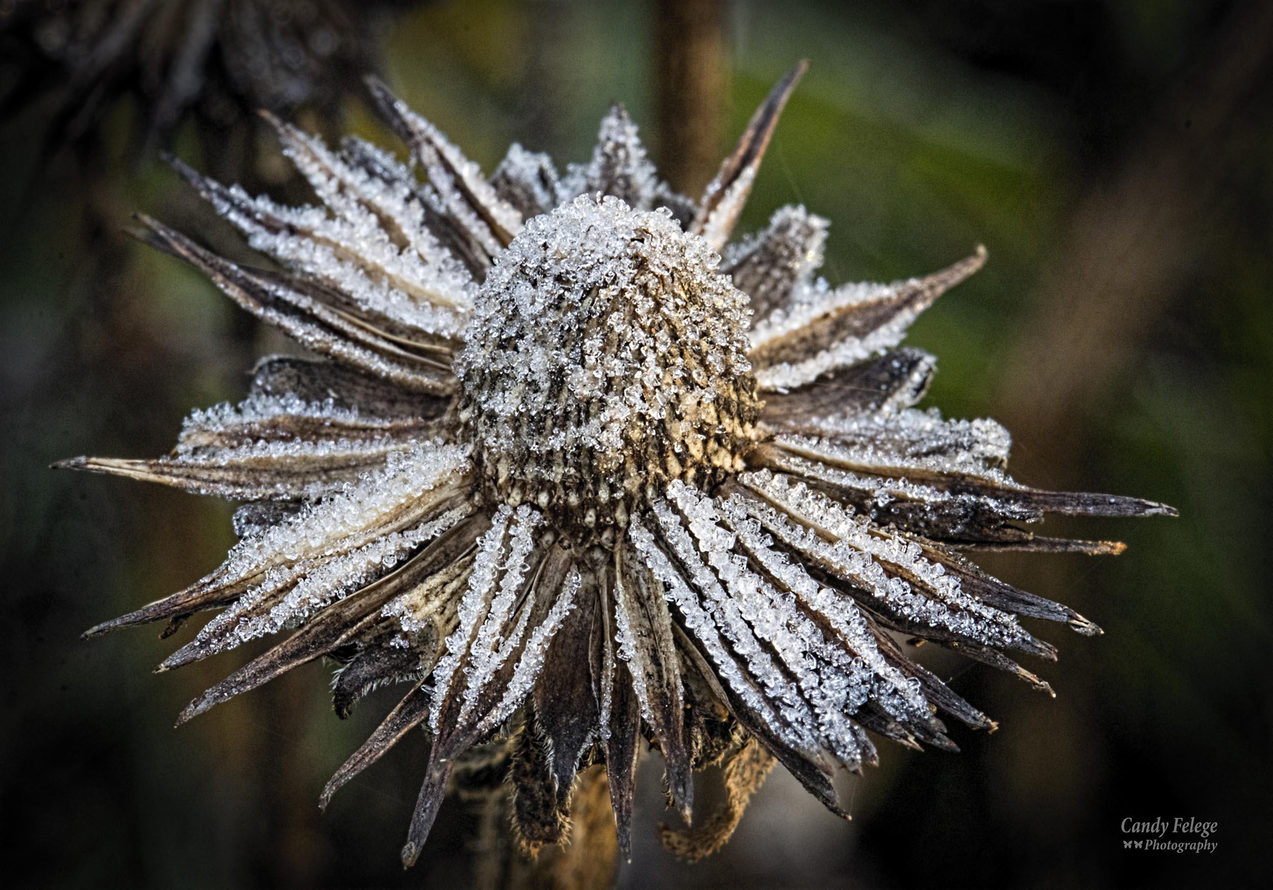 frost coneflower_Felege.jpg