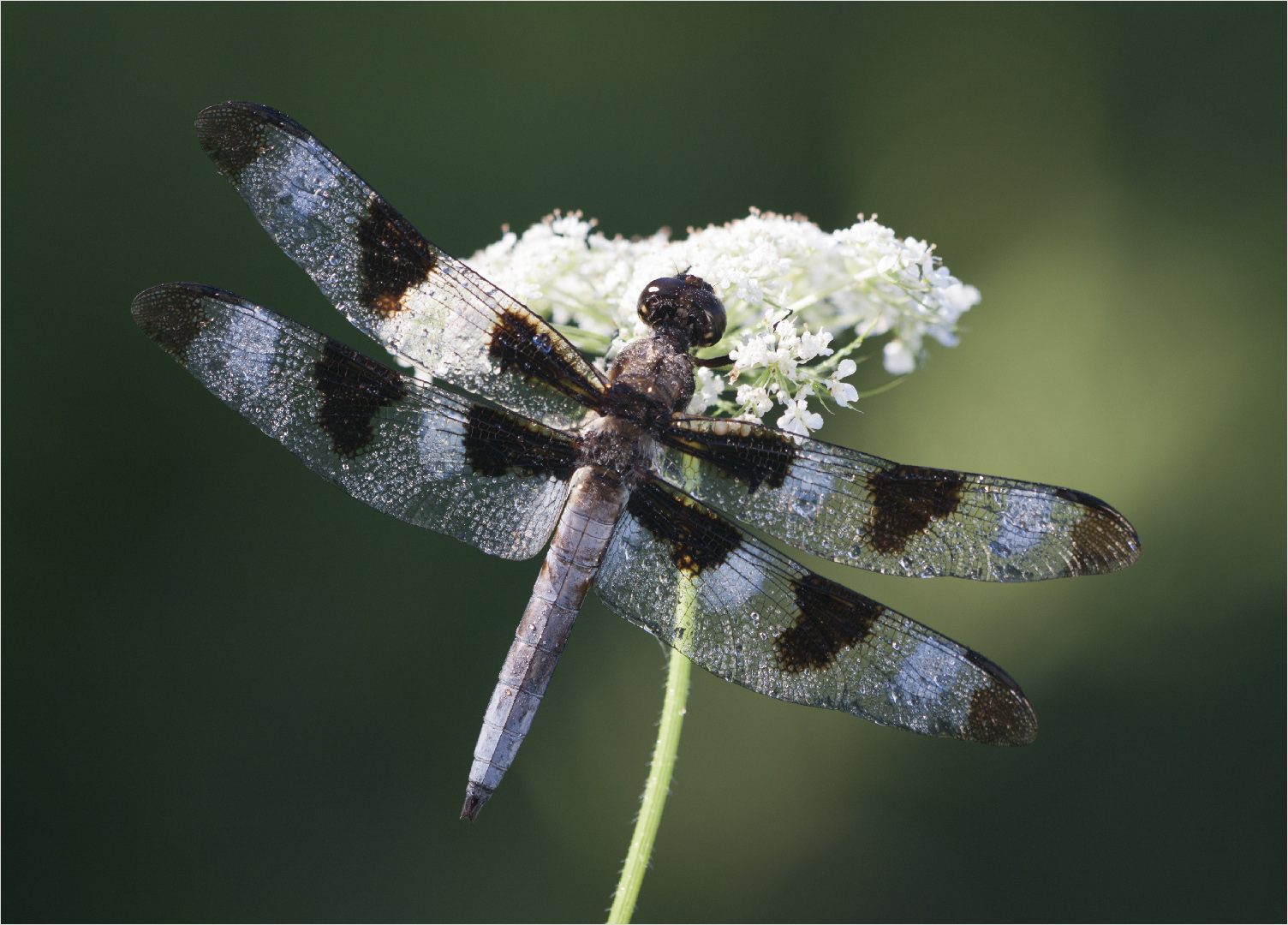 Dragonfly on Queen Anne Lace