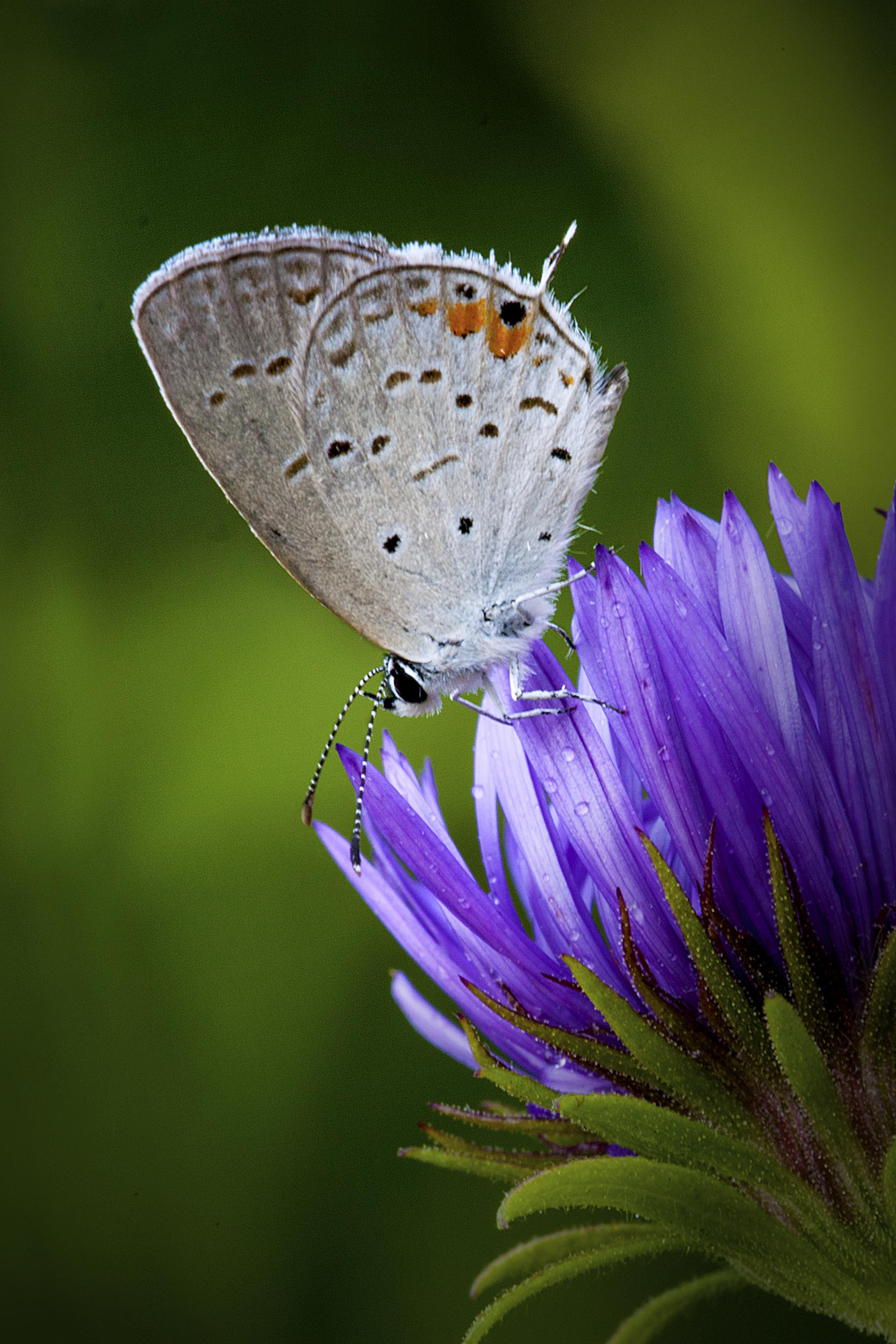 Eastern Tail Blue