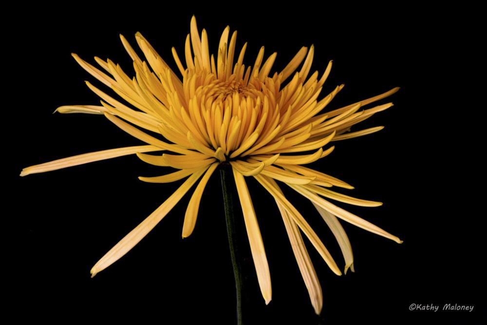 blooming-yellow