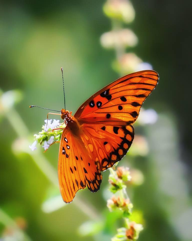 Gulf Fritillary Butterfly.jpg
