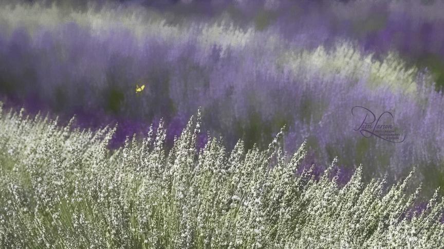 Larson_Butterfly in a Lavender Field.jpg