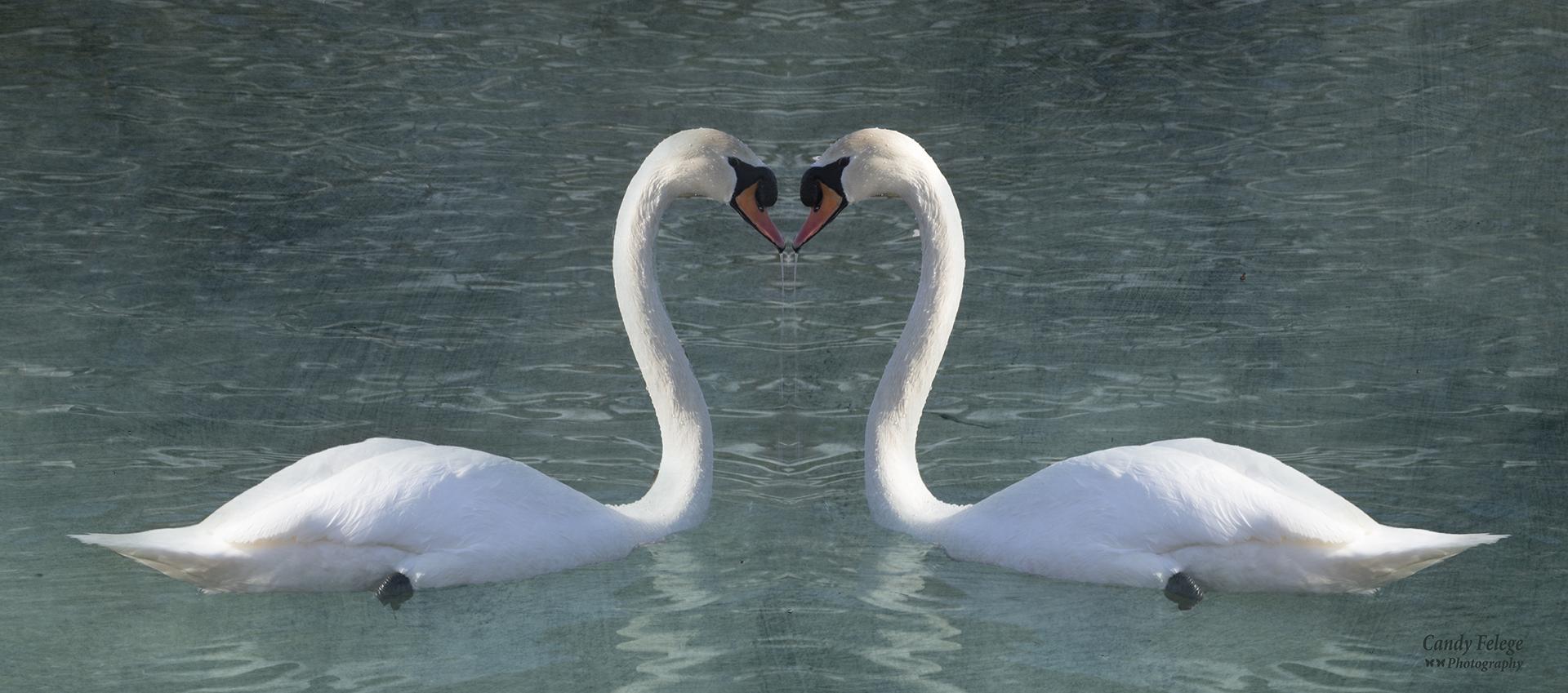 felege_swan's heart.jpg