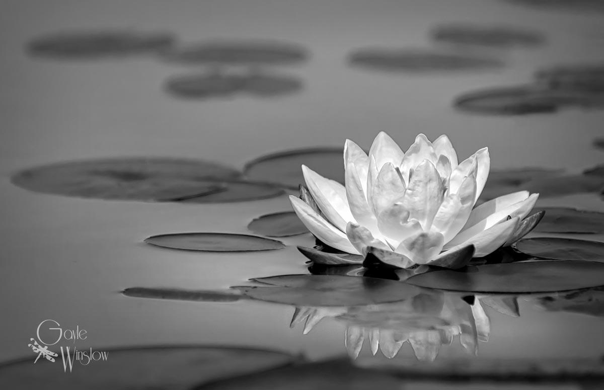 Winslow_Water-Lily.jpg
