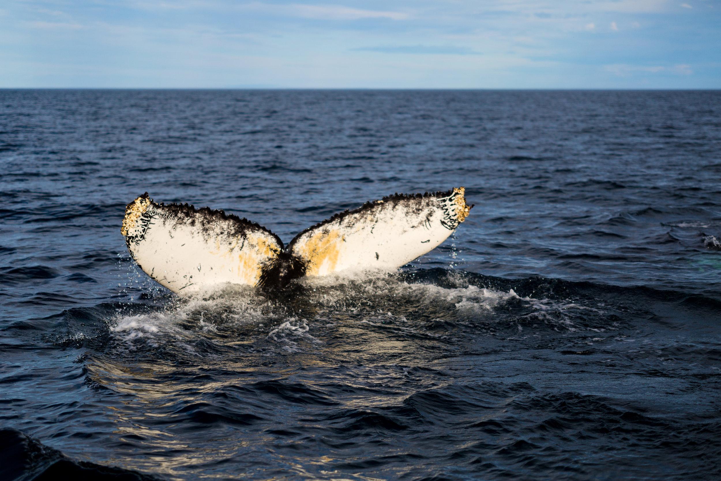 Humpback Whale II