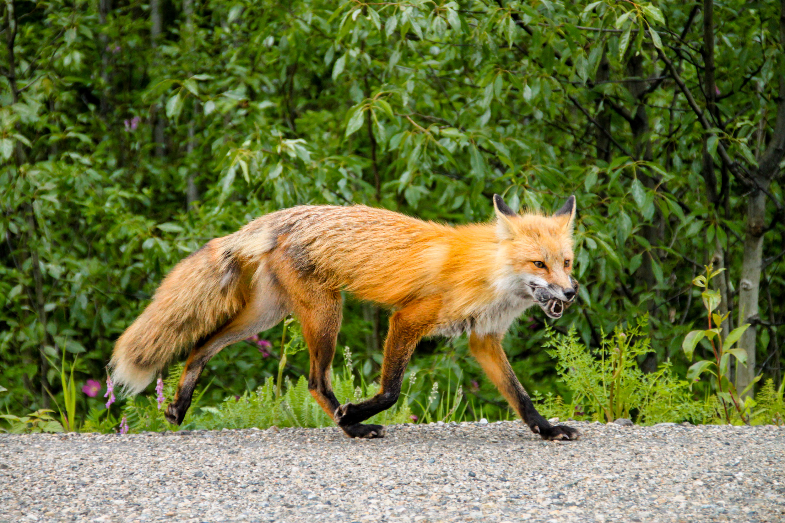 Red Fox with kill