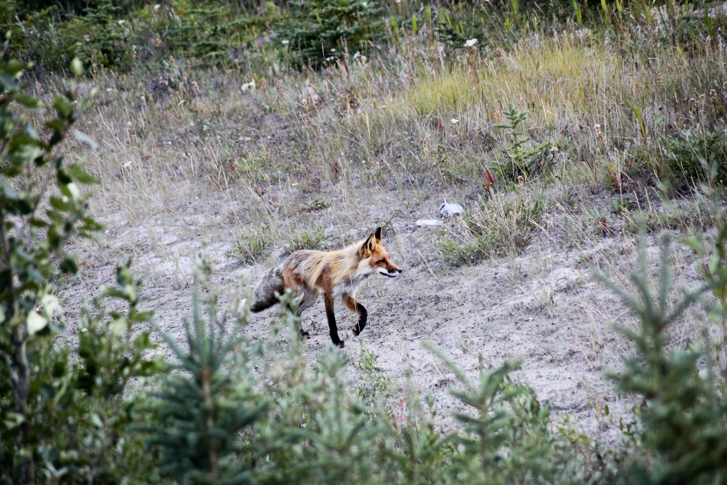 Red Fox stroll