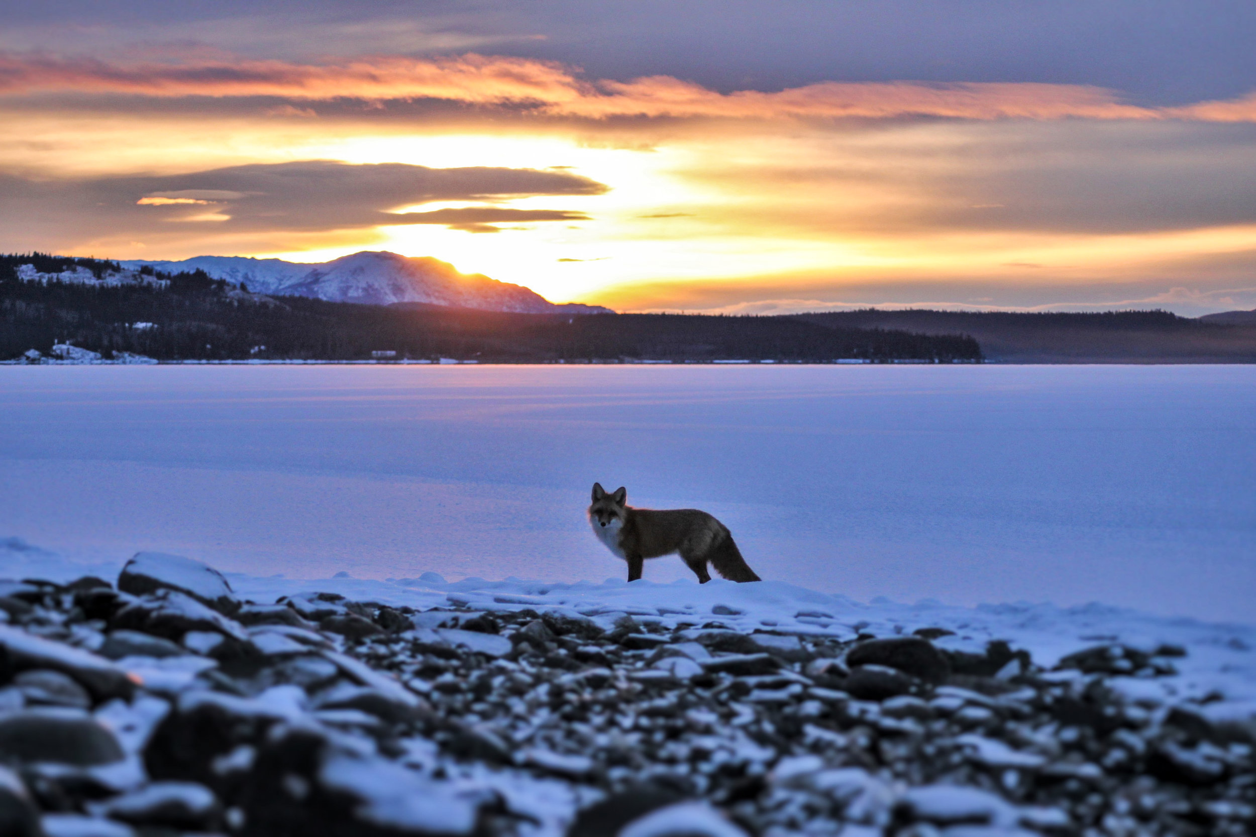 Foxy Sunrise