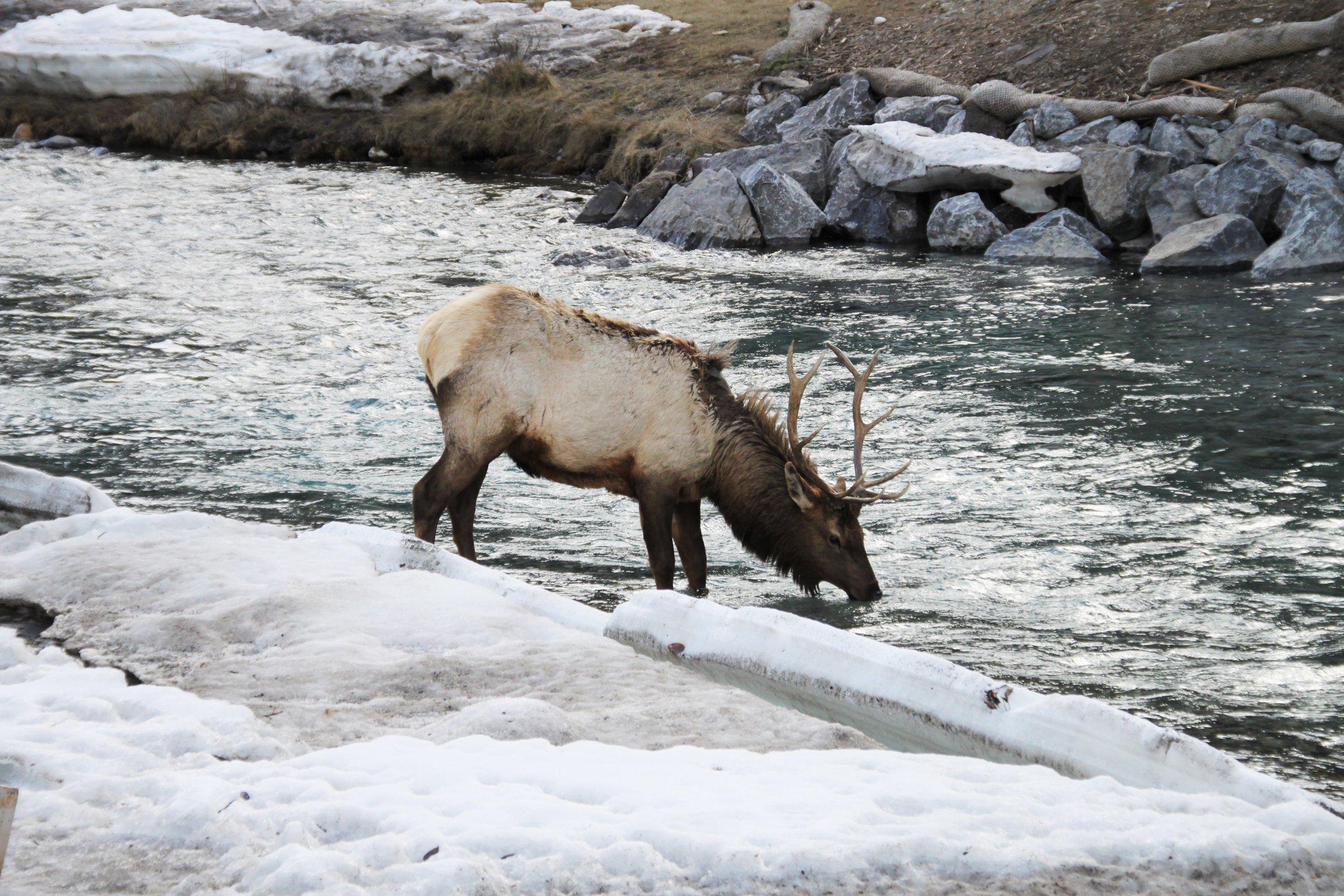 Male Elk Rivercrossing