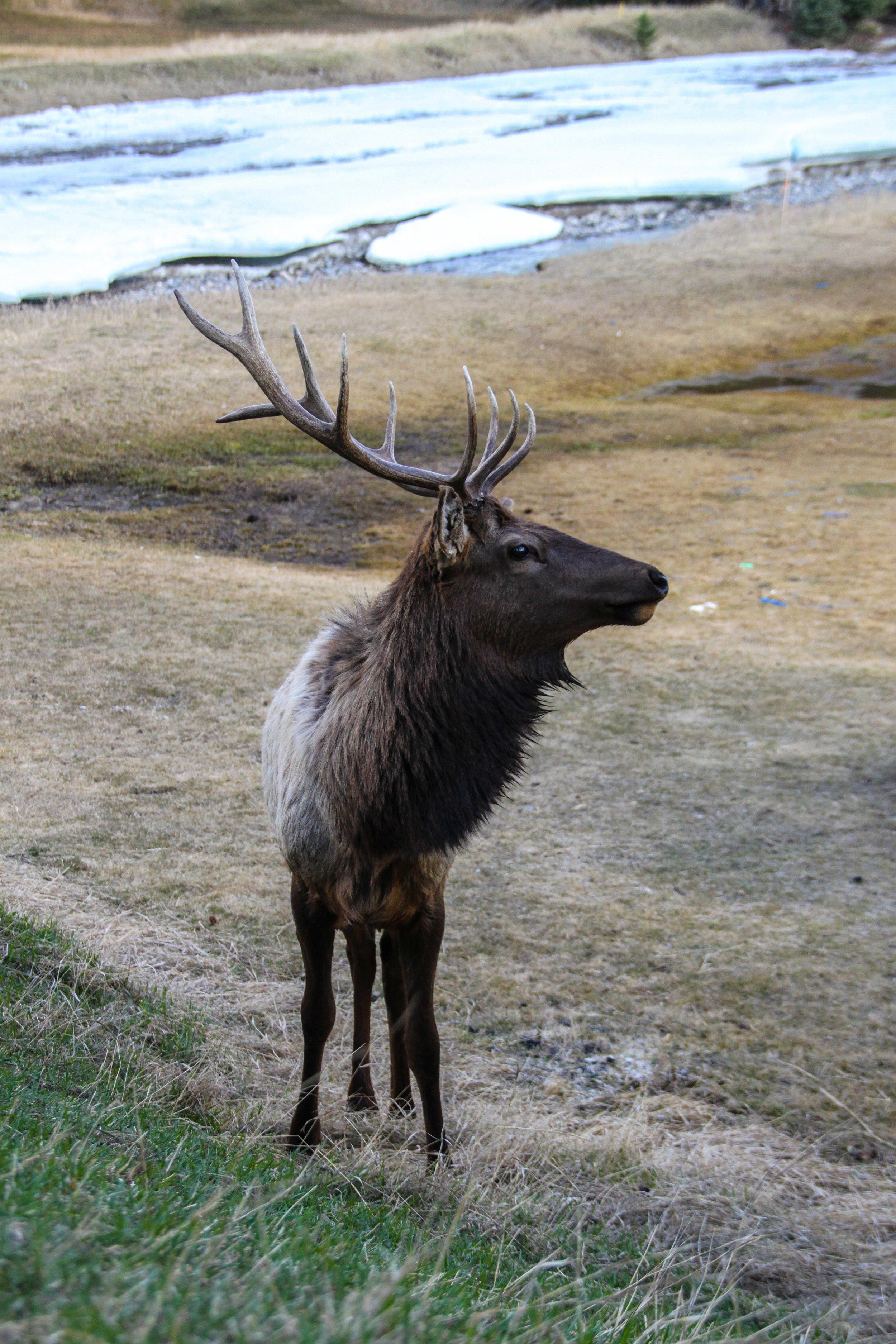 Male Elk II