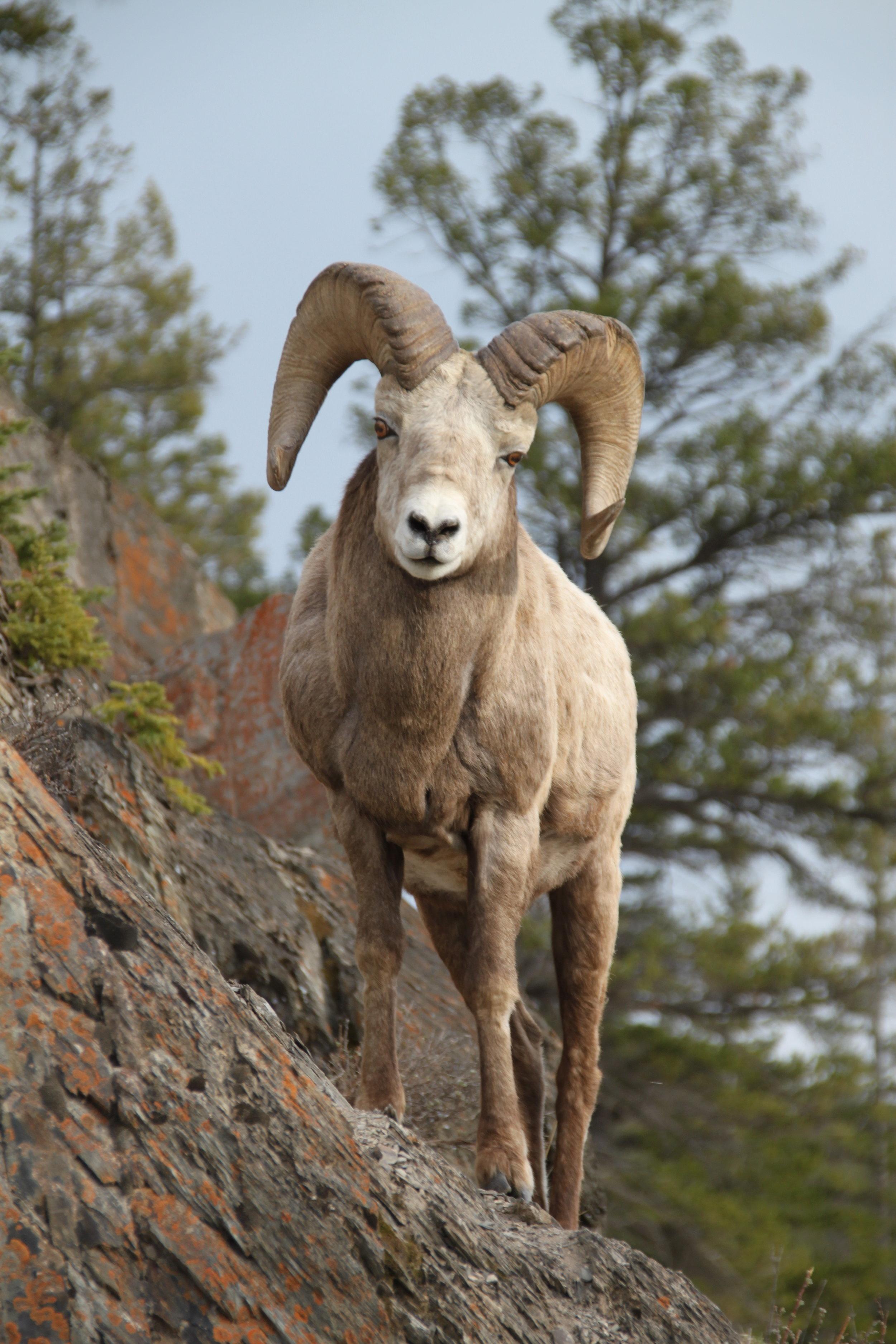 Ram Bighornsheep II