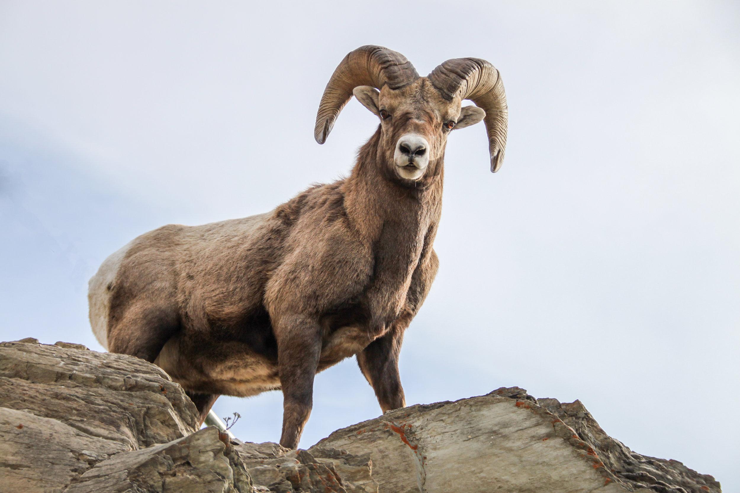 Ram Bighorn Sheep