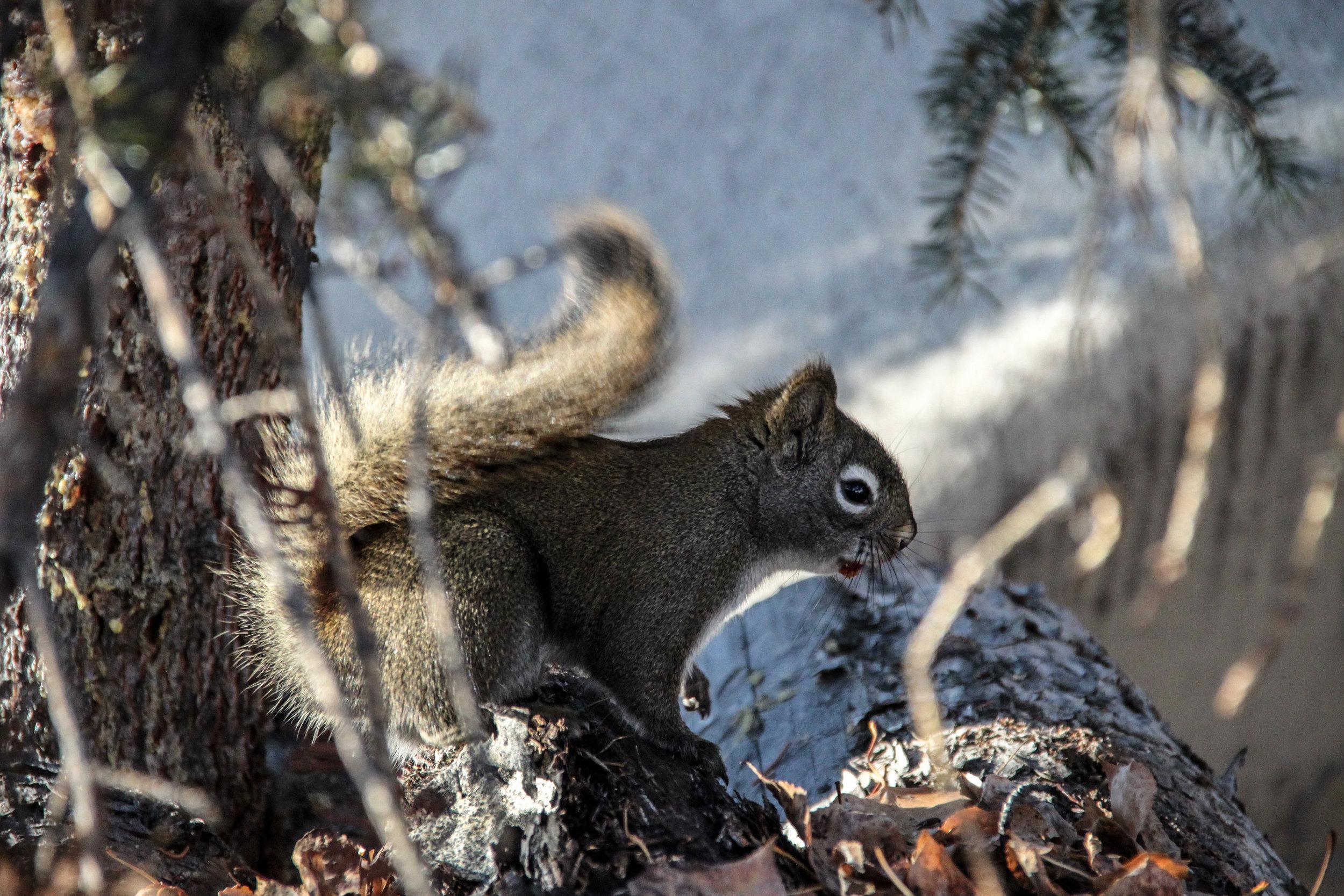 Grey Squirrel II
