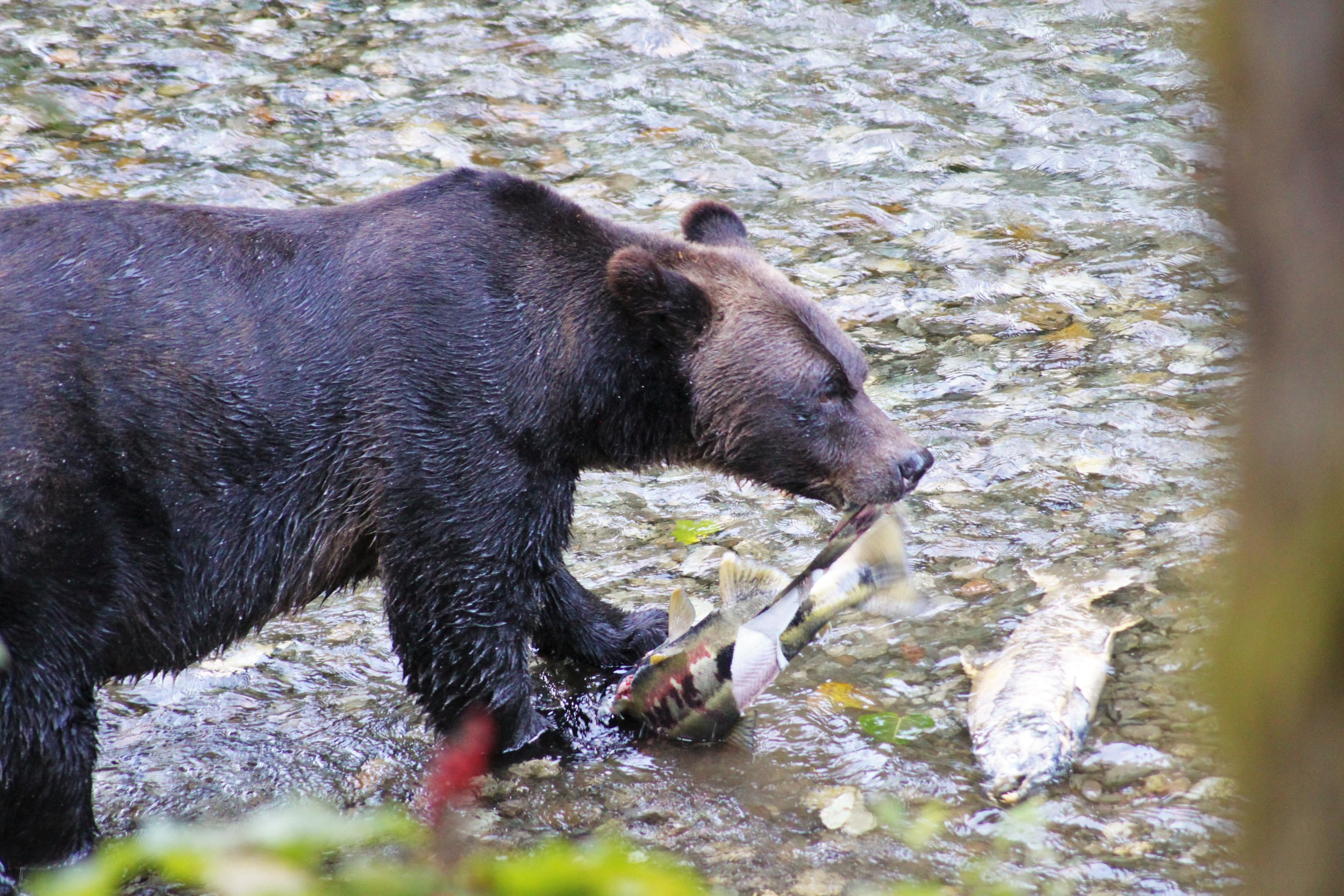 Grizzly Salmon