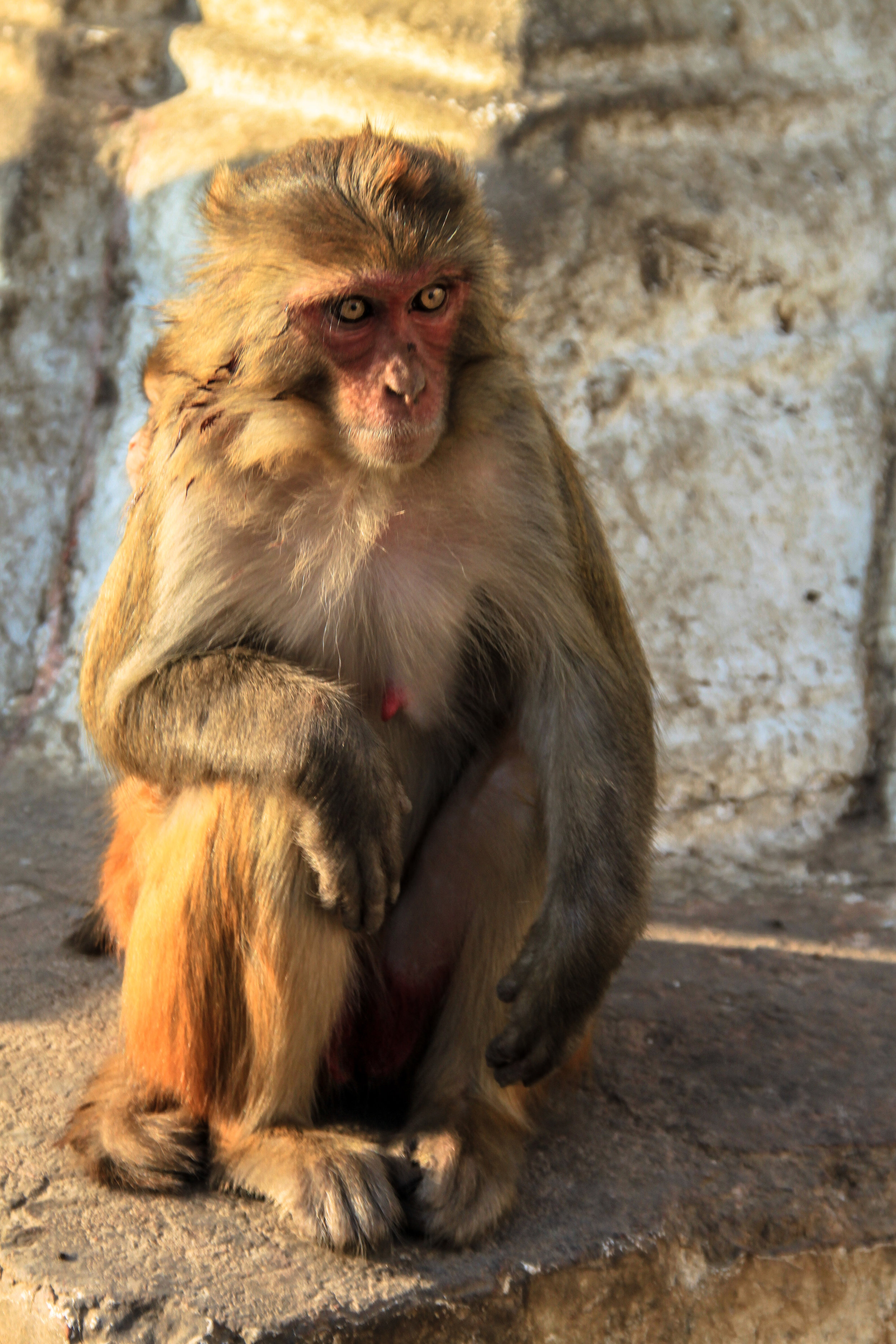 Rhesus Macaque Monkey II