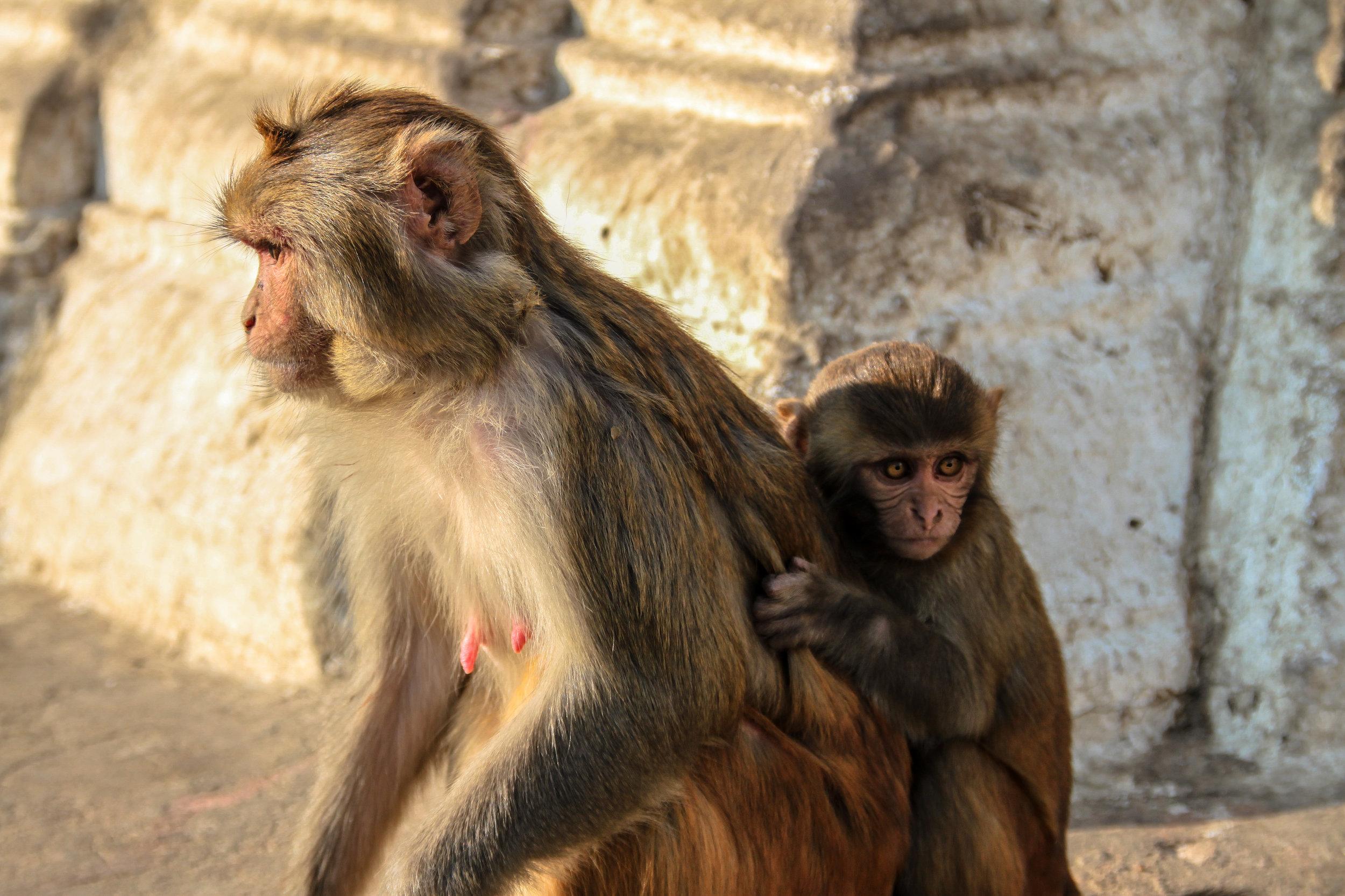 Rhesus Macaque Monkey III