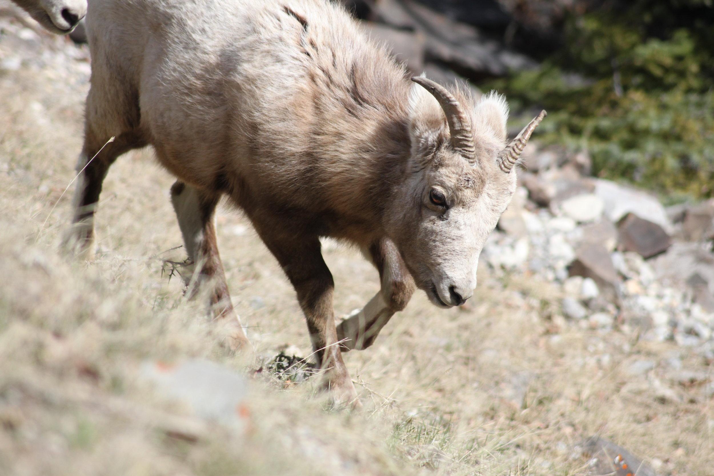Bighorn Sheep hill