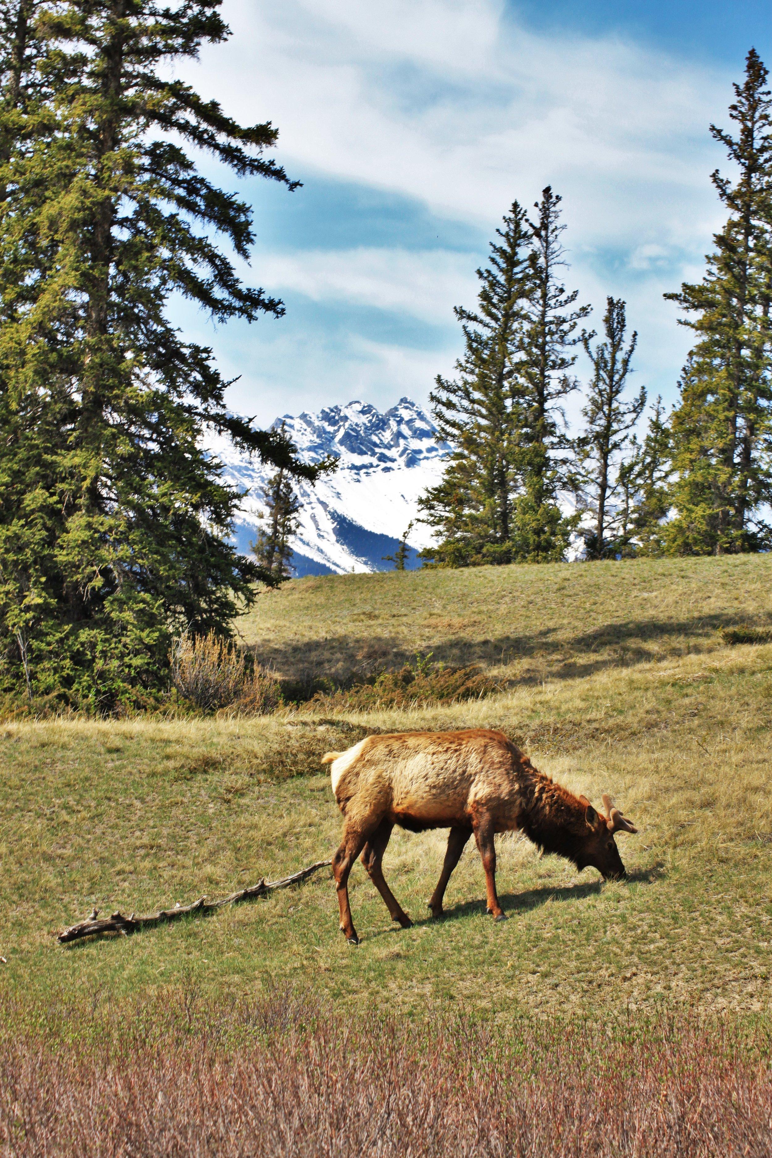Elk growing horns