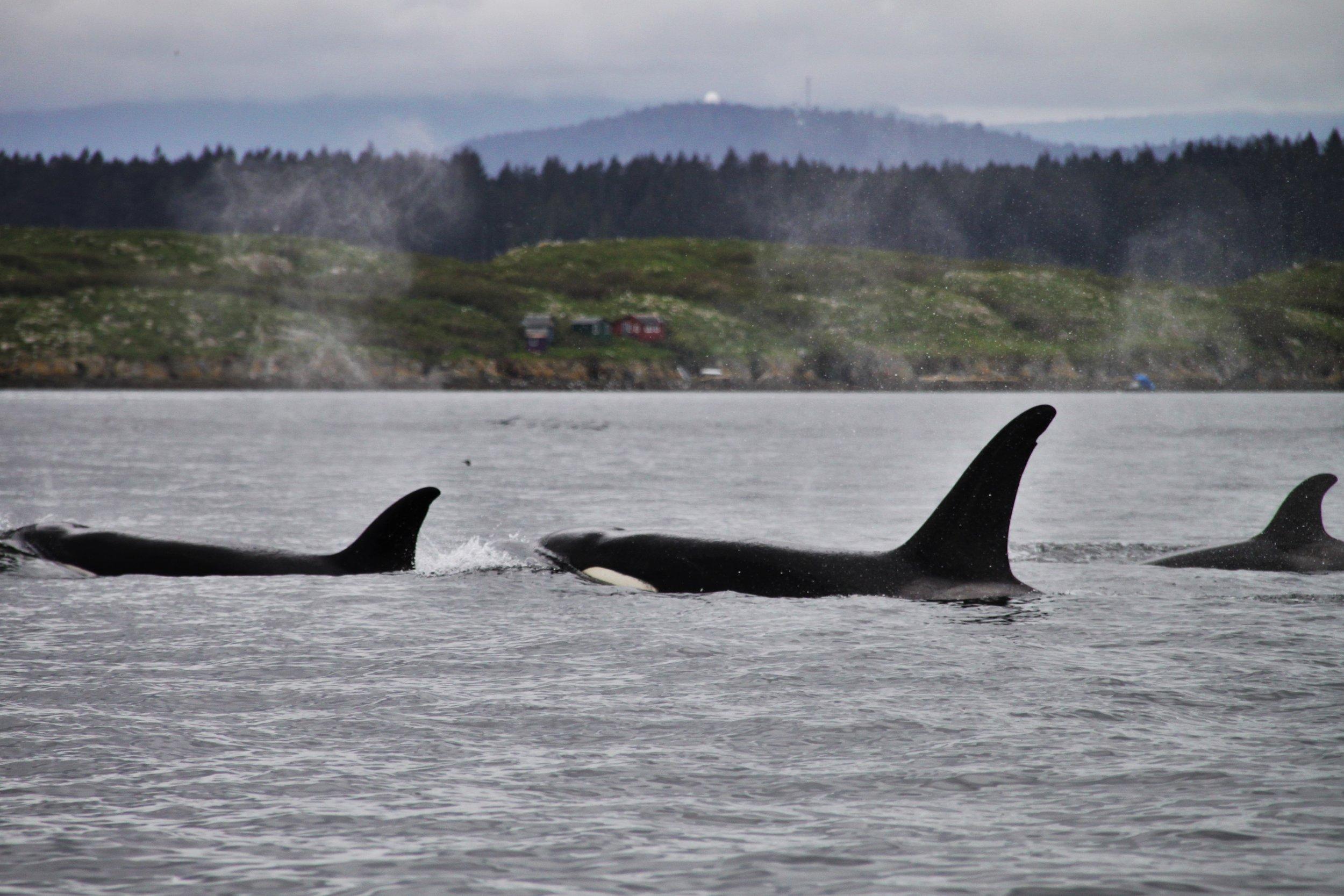 Killer Whale III