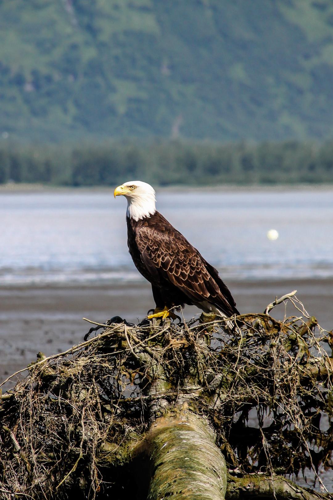 Bald Eagle Valdez II