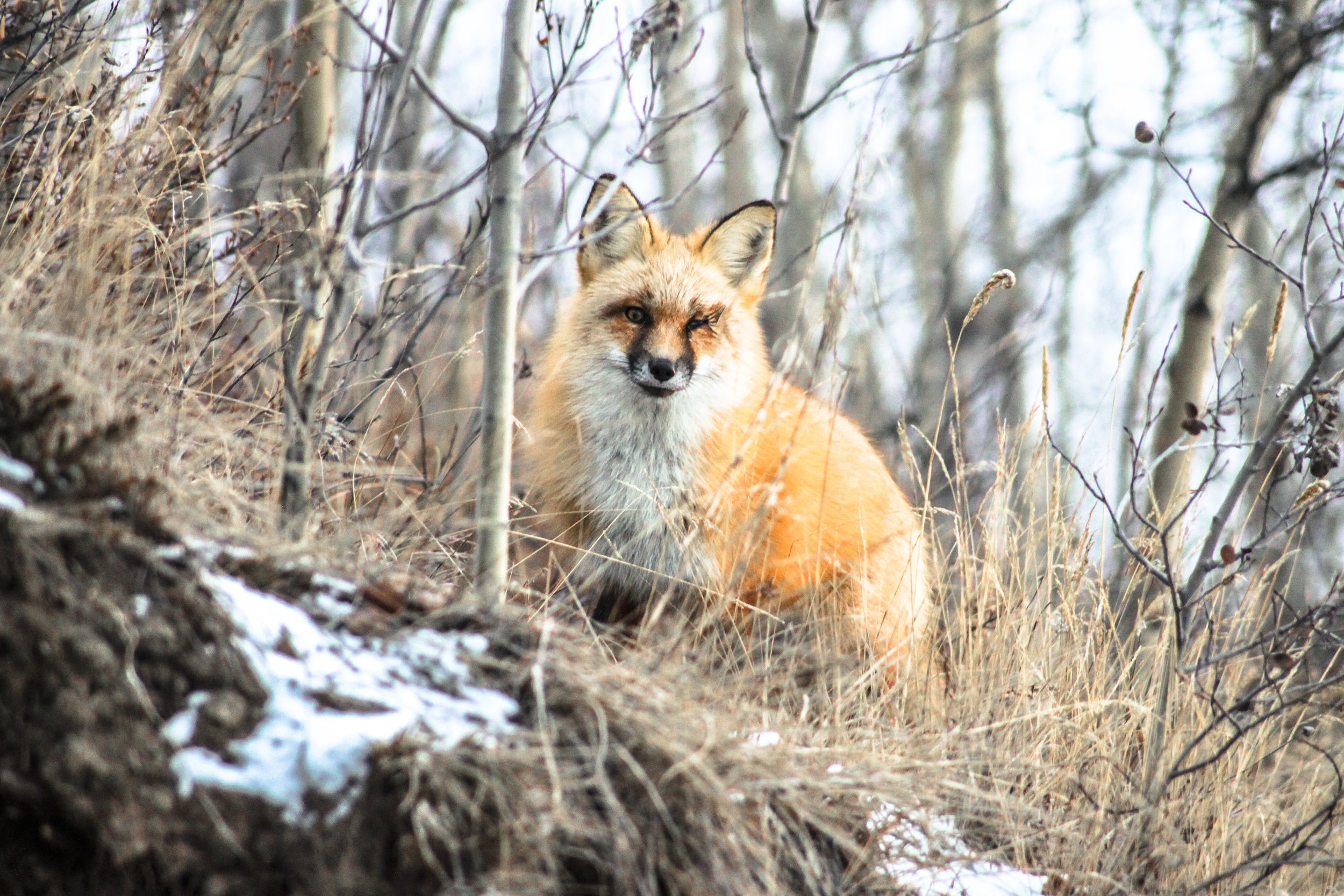 Red Fox bushes