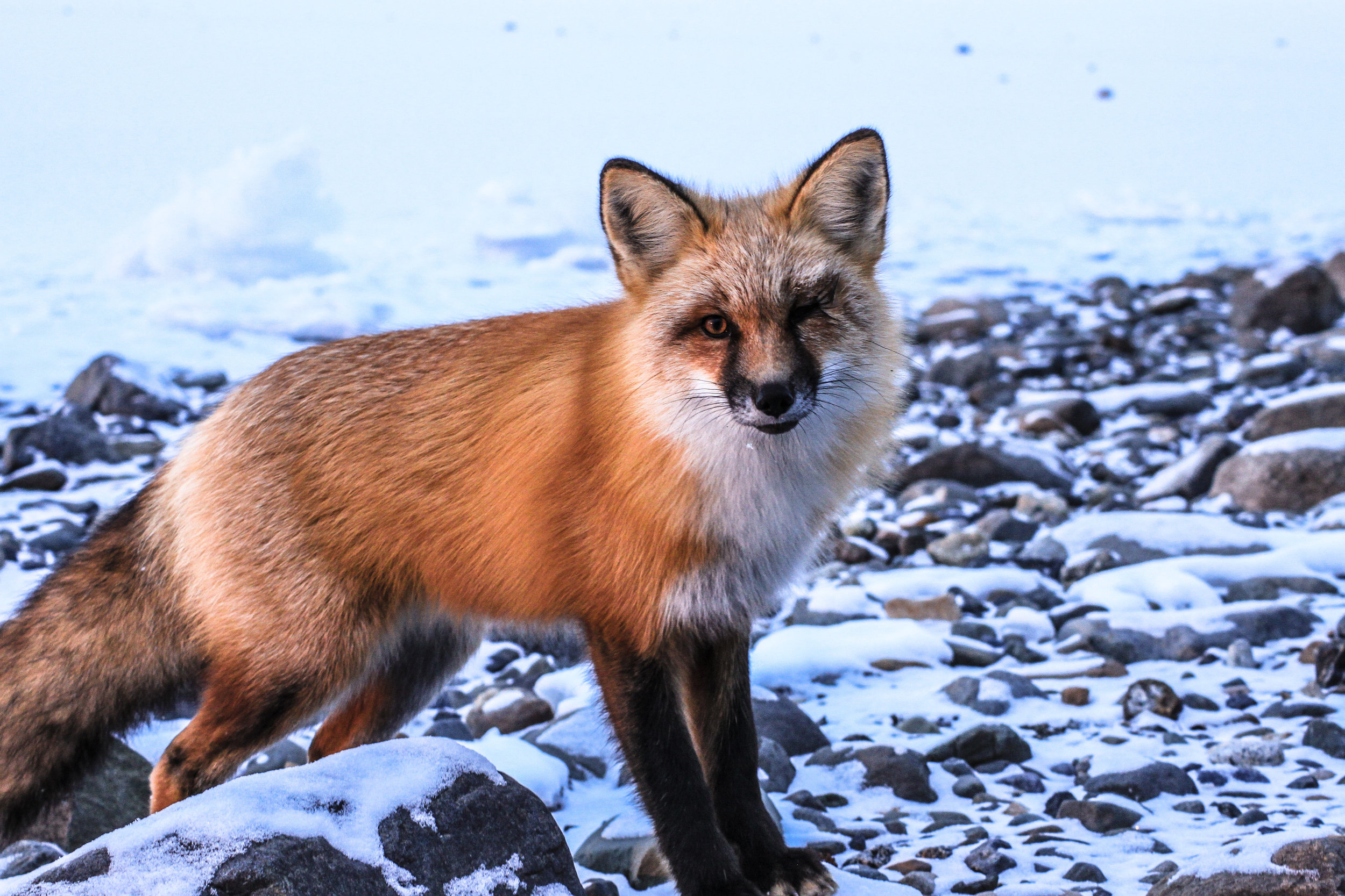 Red Fox Glow