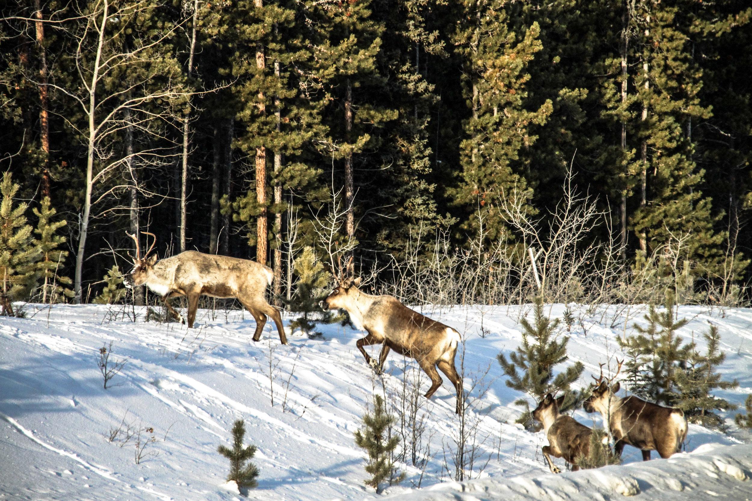 Cariboo herd