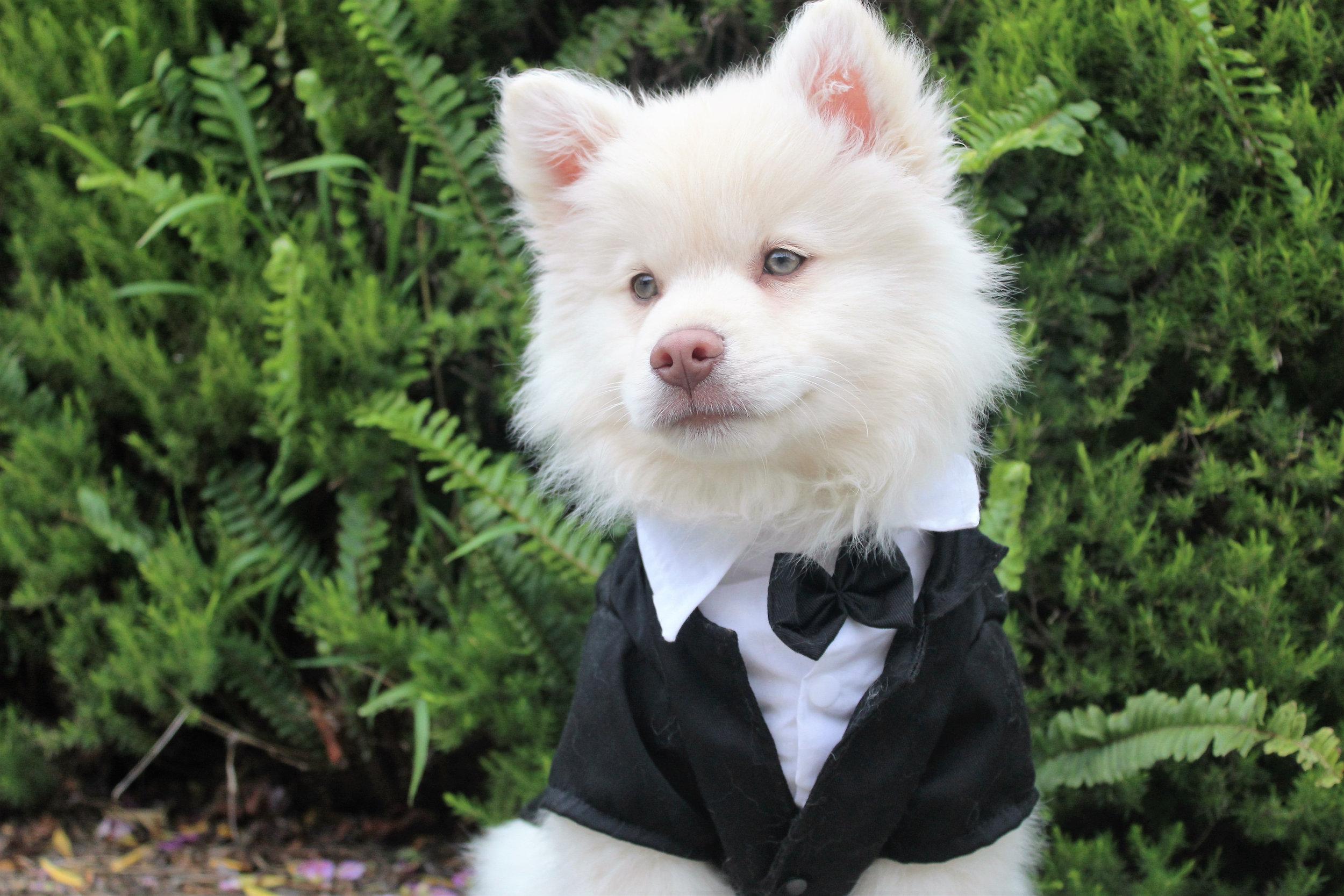Canva - Dog, Puppy, Tux, Cute, Summer, Cream, White, Smart.jpg