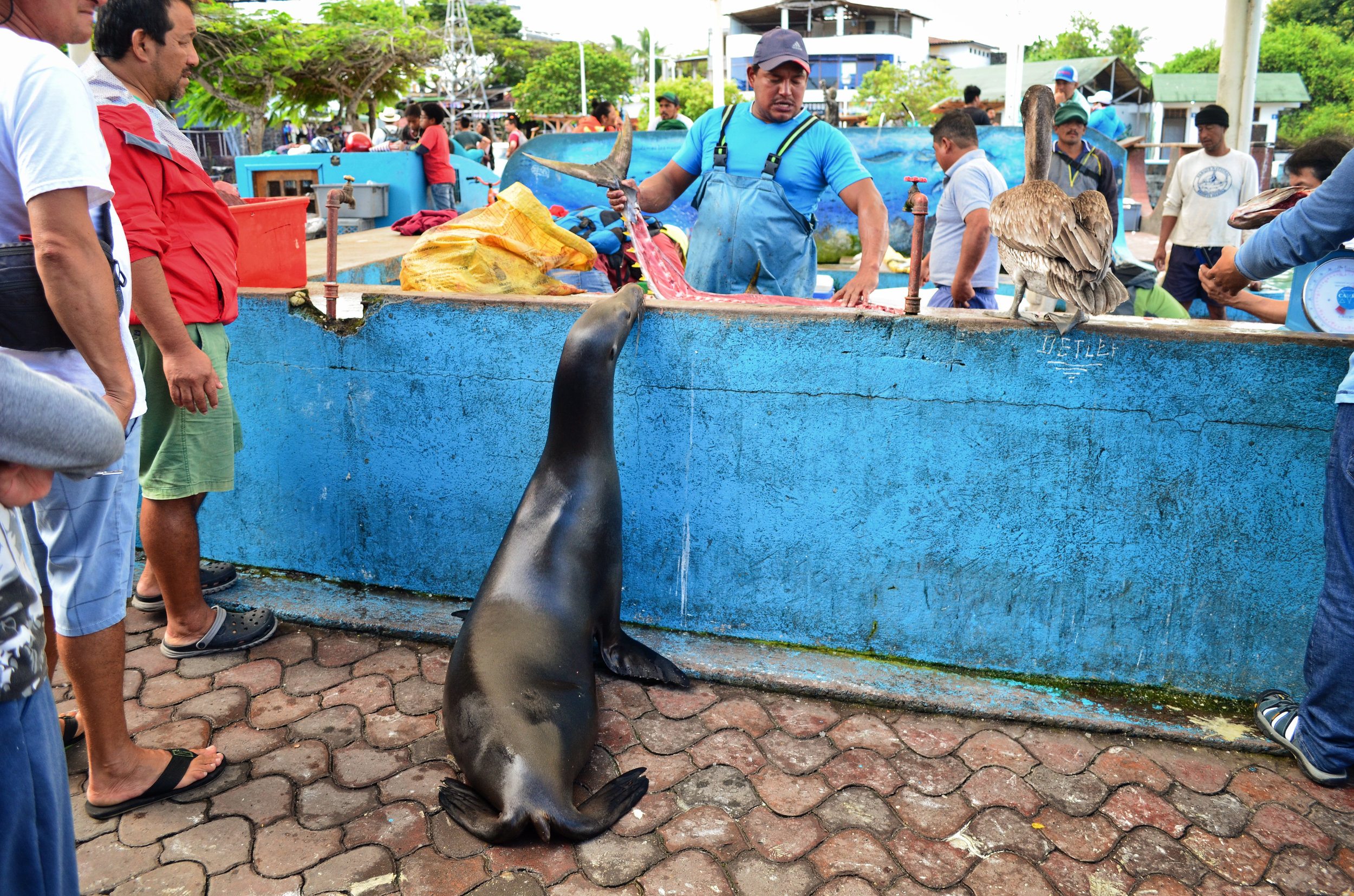 A sea lion scopes out the catch of the day at the fish market on Santa Cruz Island