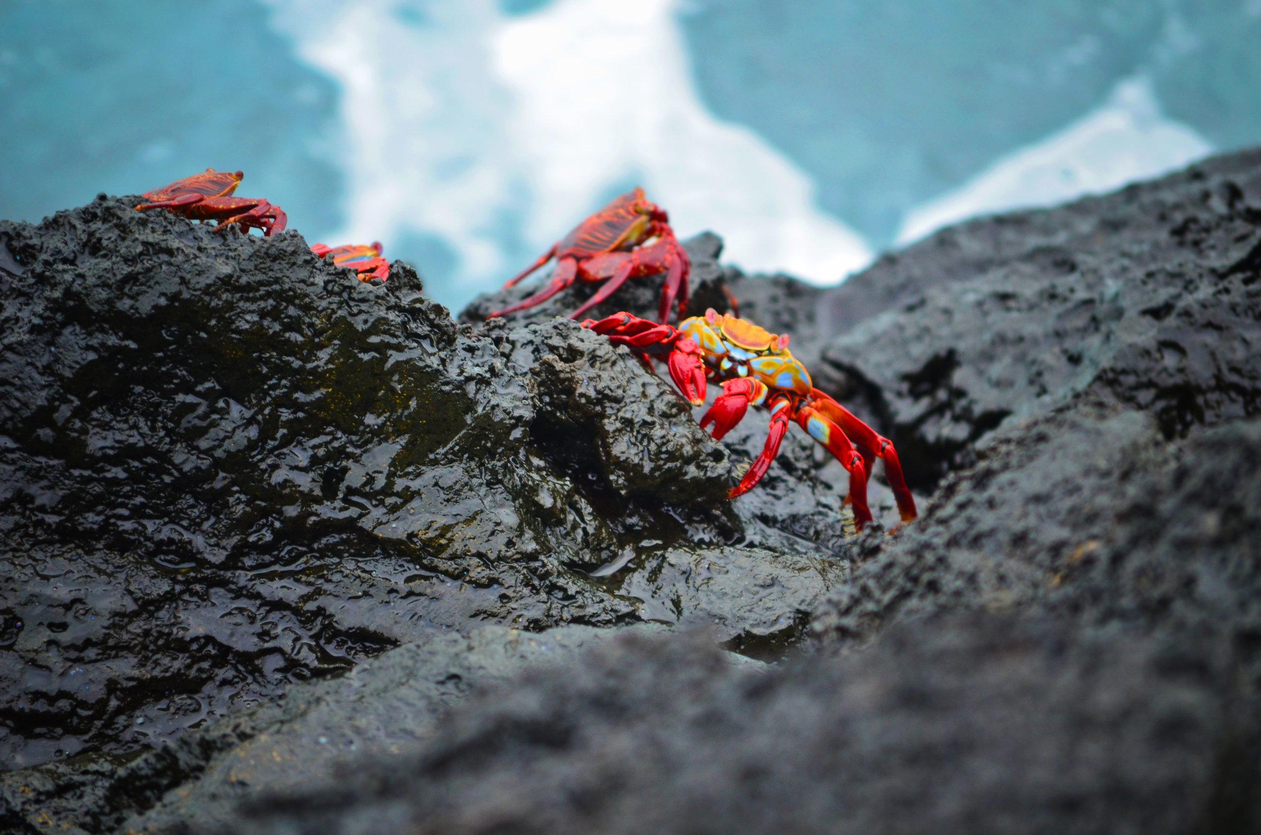 Sally lightfoot crabs cling to volcanic rock as waves crash over them on San Cristóbal Island