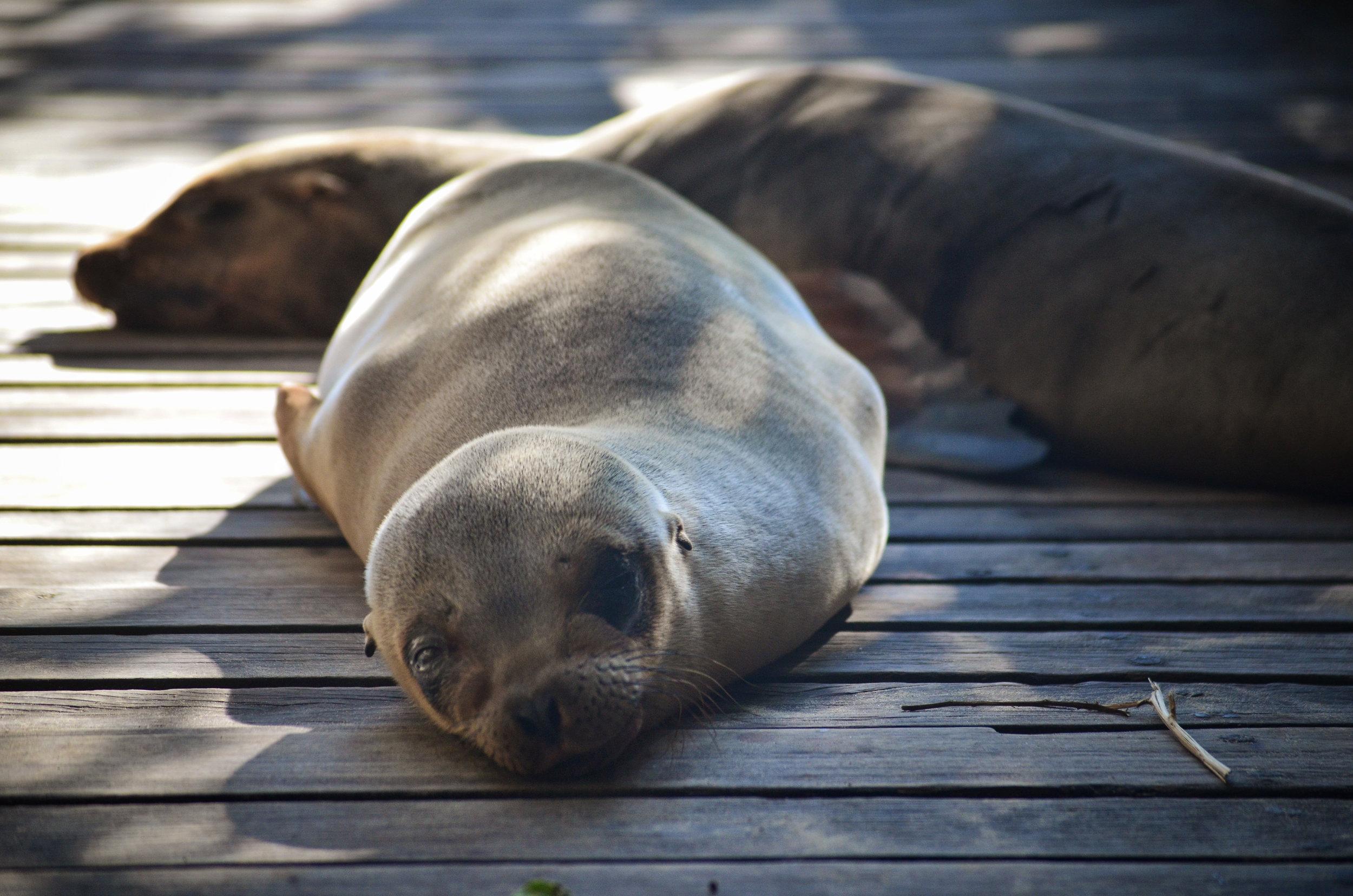 A sleepy sea lion pup naps with mama on the dock