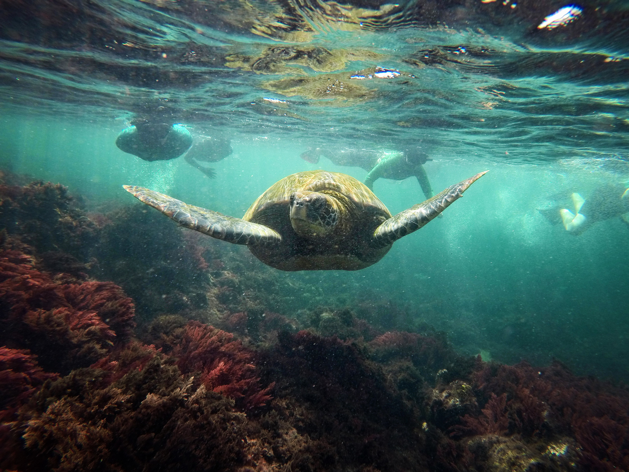 A green sea turtle leads a group of snorkelers through Los Tuneles off Isabela Island