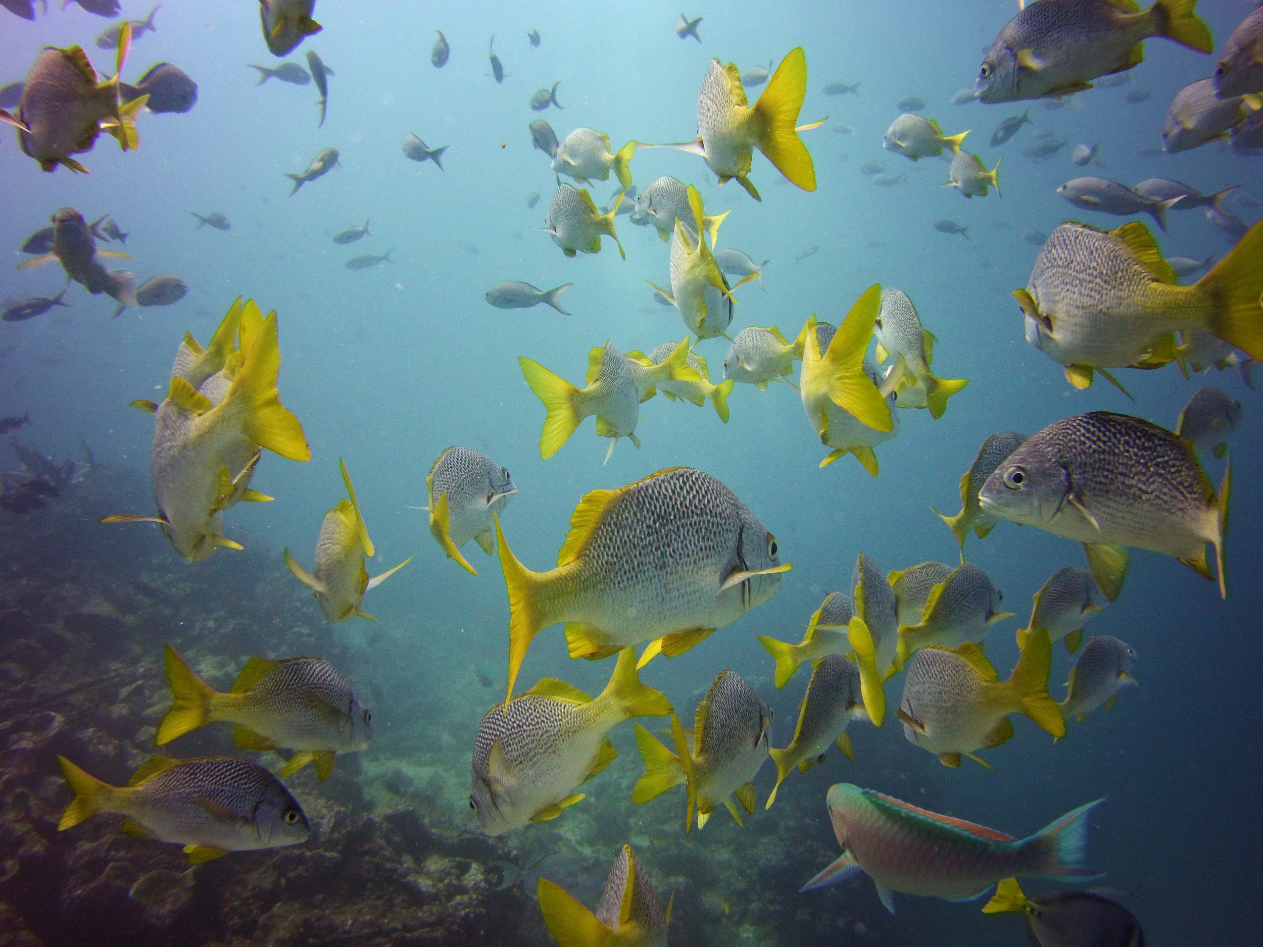A school of yellowtail grunts and a lone parrotfish
