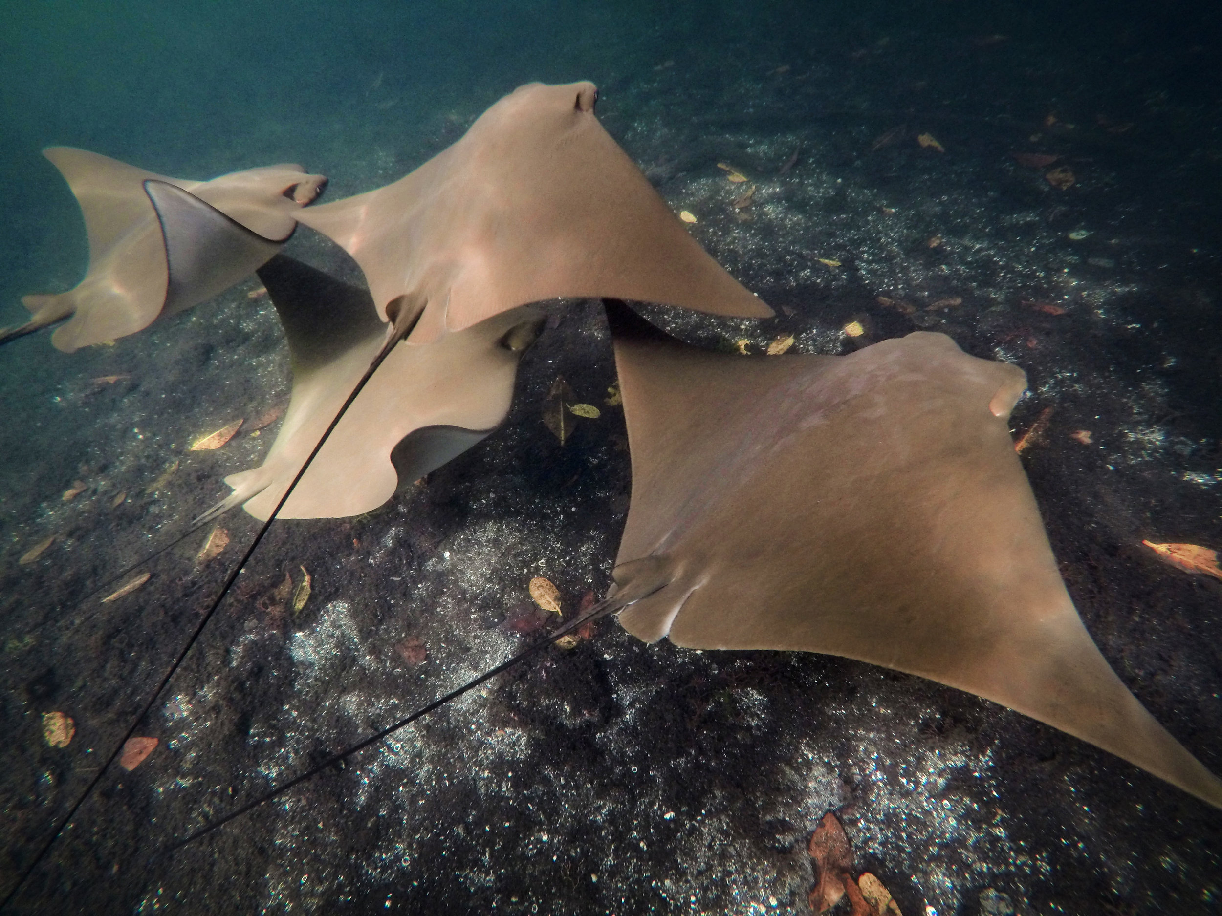 Golden rays swim along the floor of Los Tuneles off Isabela Island