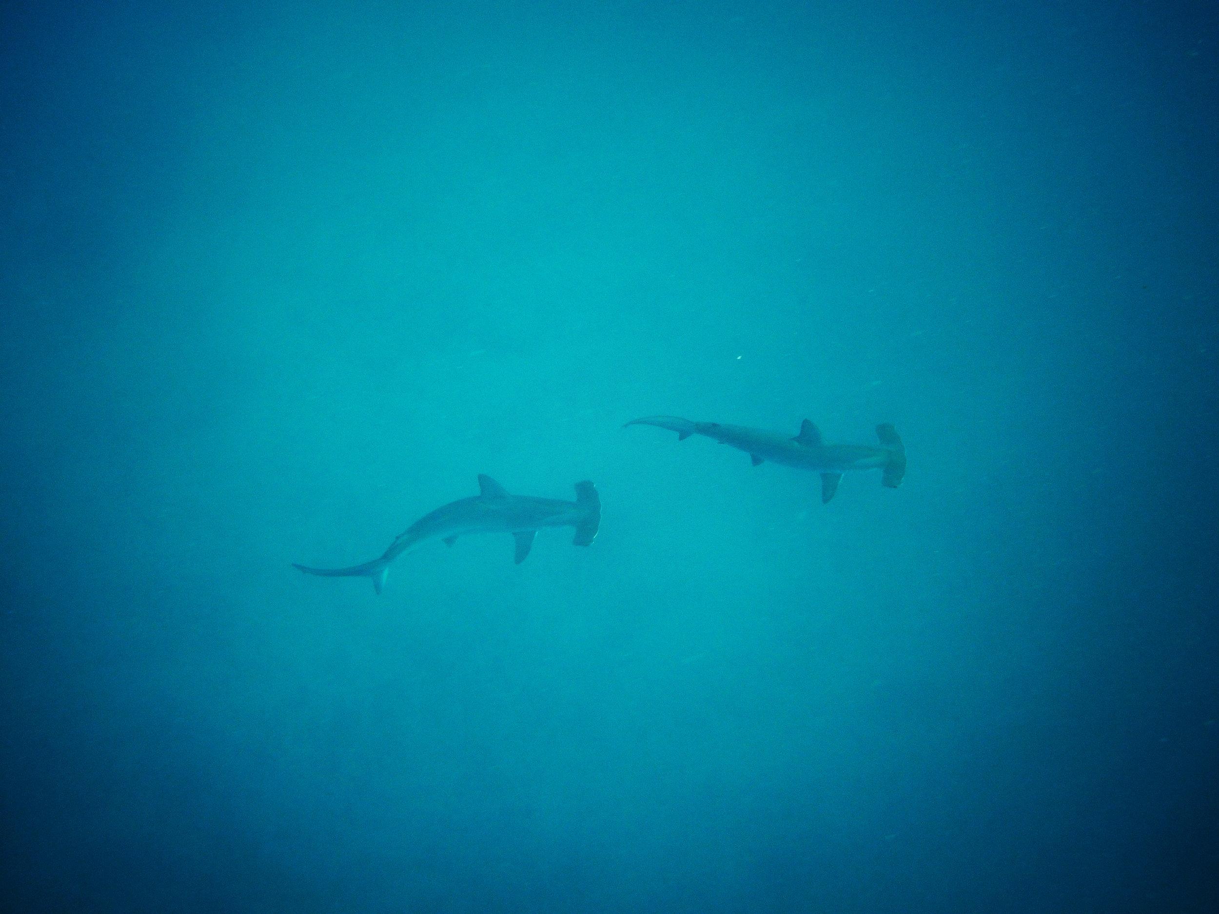 Two scalloped hammerhead sharks swim around North Seymour off Santa Cruz Island