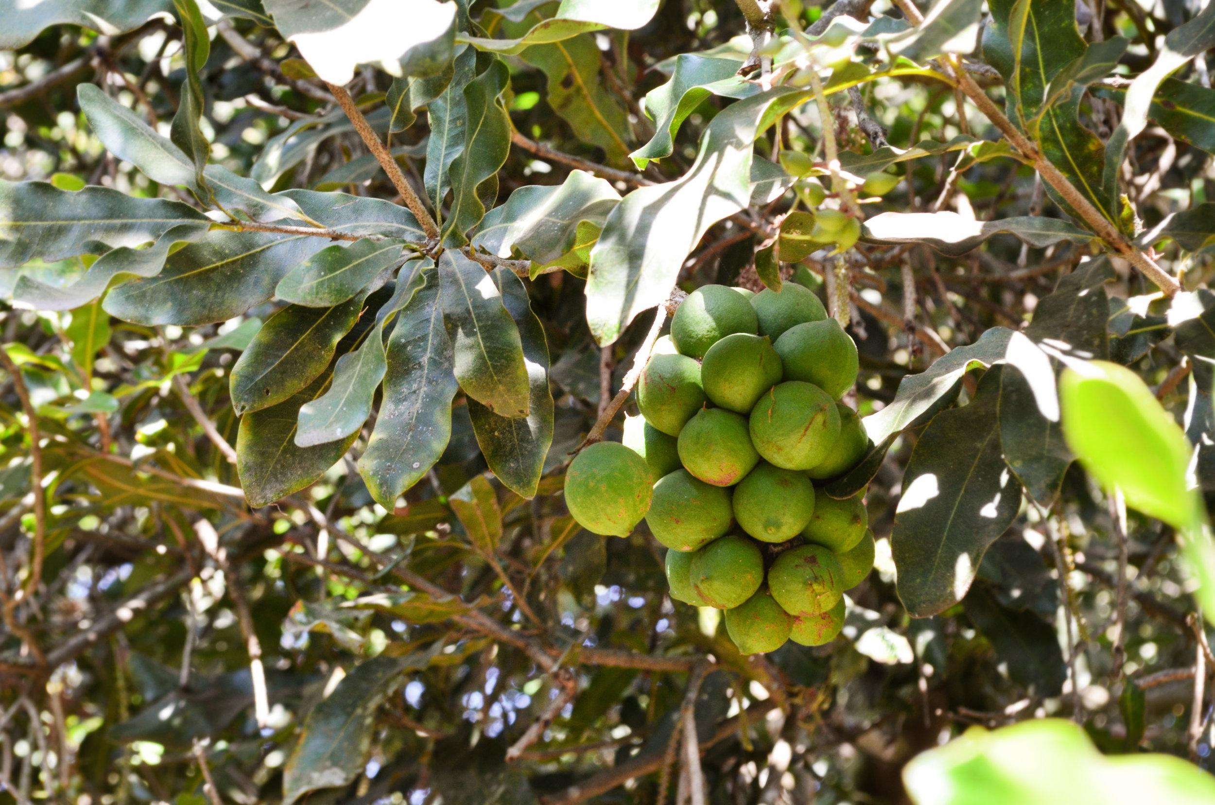 Macadamia nuts growing on Valhalla Farm