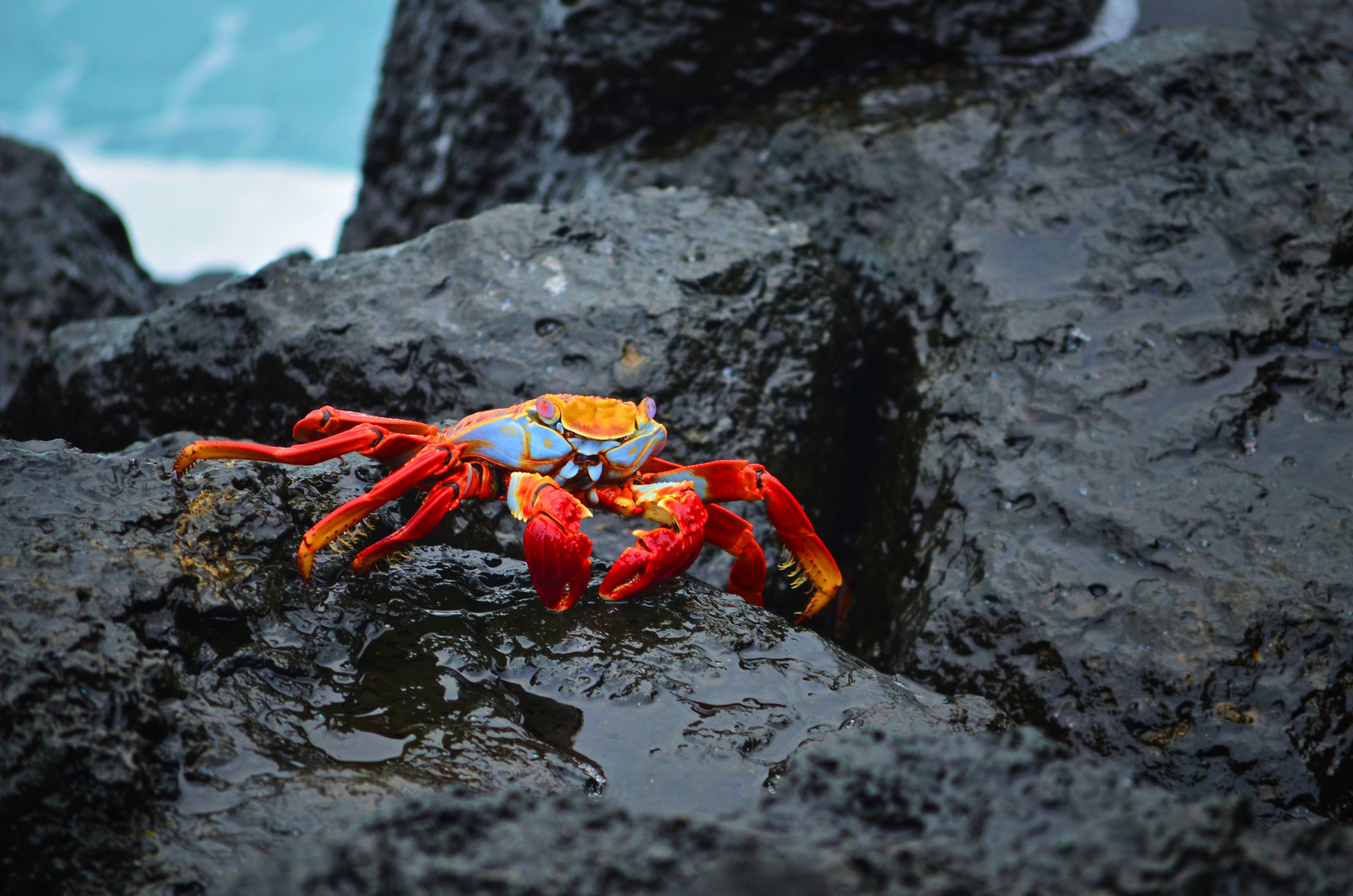 A colorful Sally Lightfoot crab clings to the volcanic rock