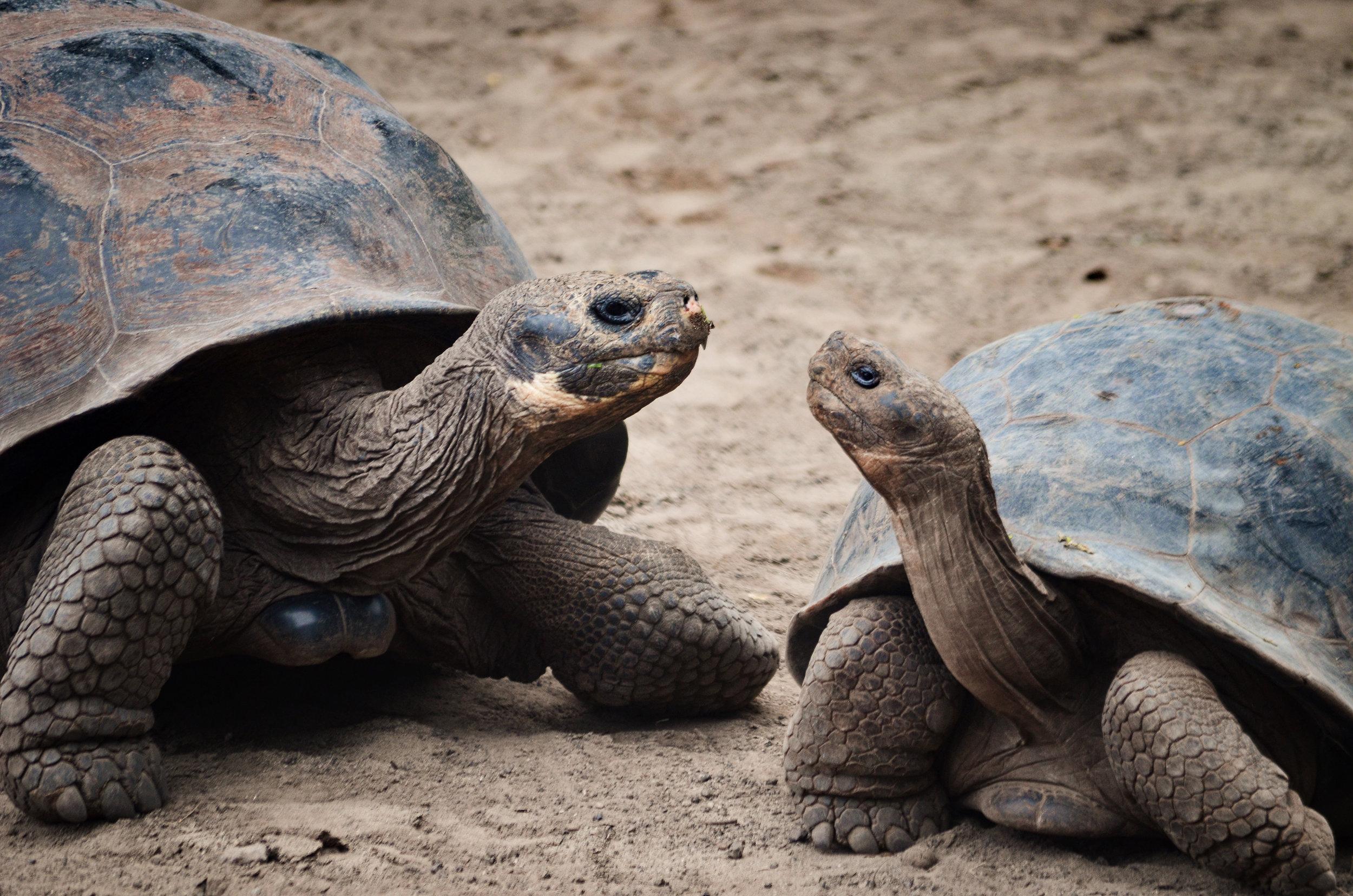Two giant tortoises pose at the breeding center on Isabela Island
