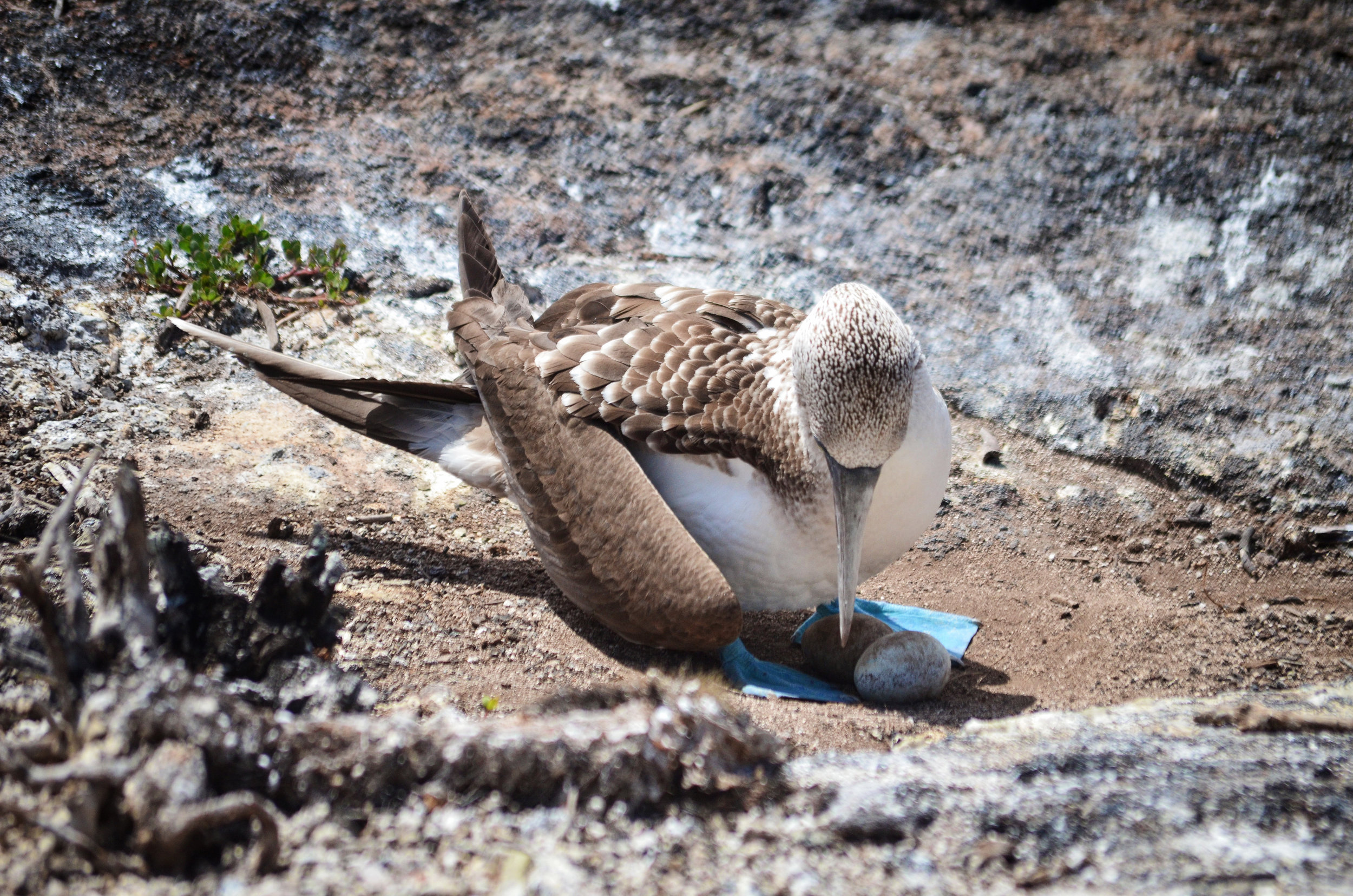 A blue-footed booby protects her eggs on Isabela Island