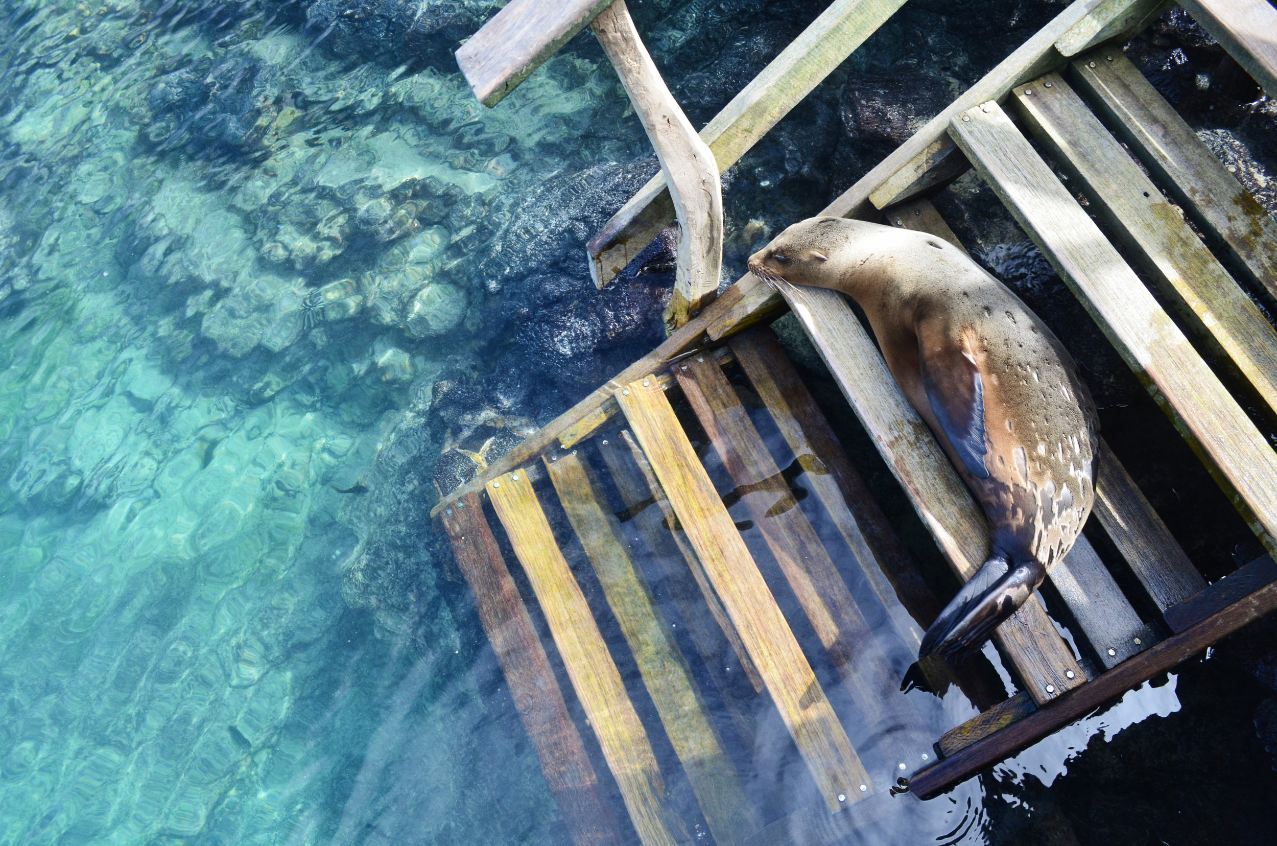 A sea lion takes a break from swimming with snorkelers at Concha la Perla on Isabela Island