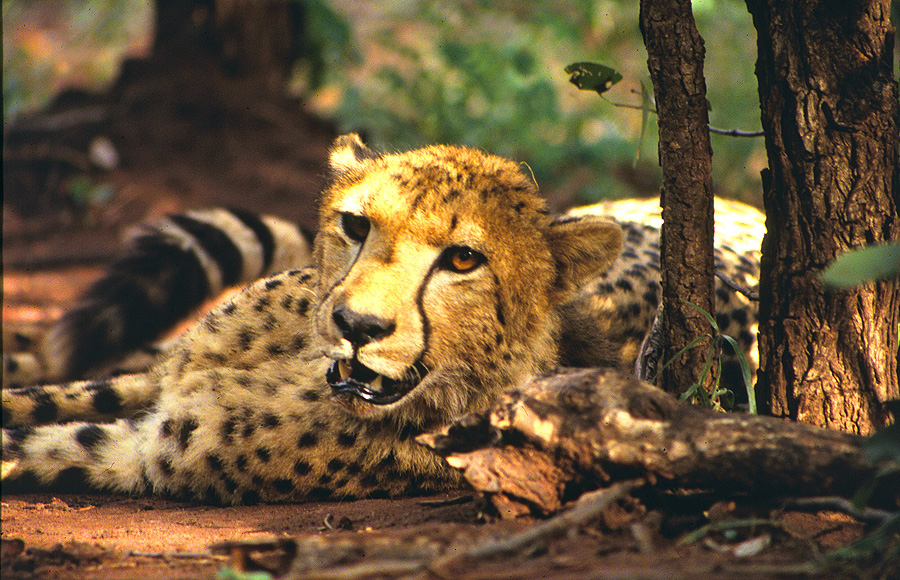 Cheetah translocation project.jpg