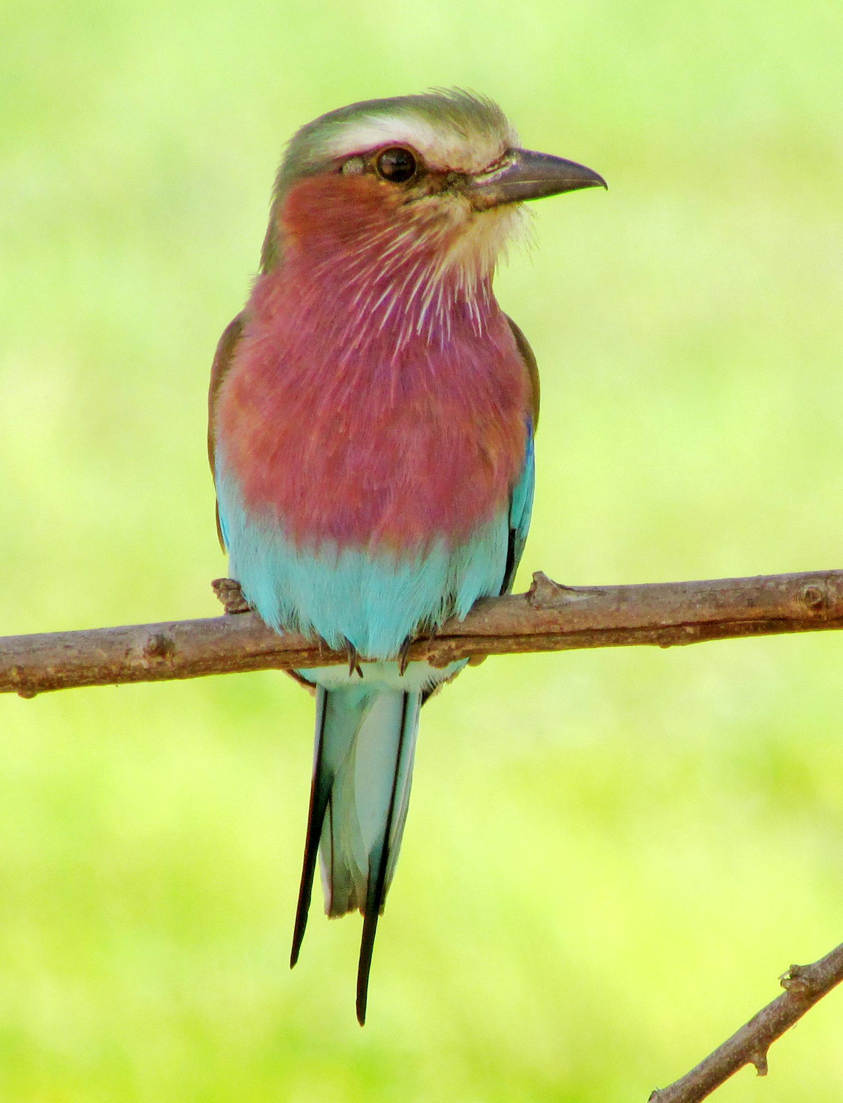 Lilac breasted Roller cropped.jpg