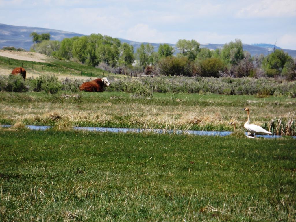 bull and swan.jpg